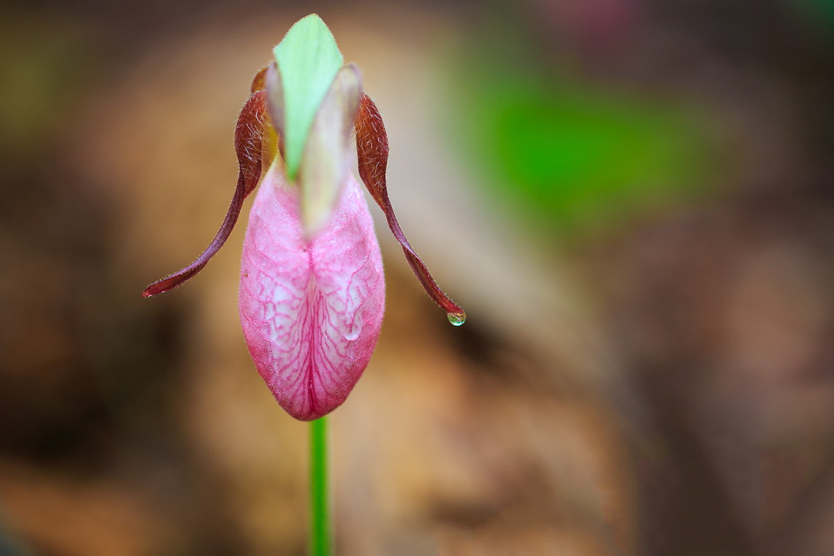pink_lady_slipper
