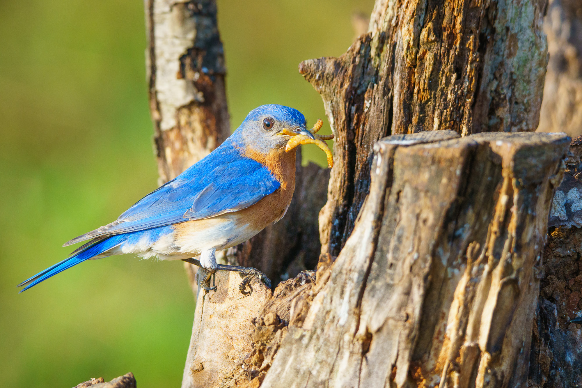 Eastern Bluebird with Meal Worms