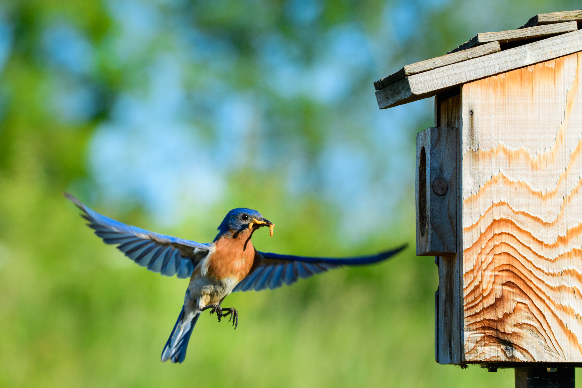 male eastern bluebird bringing in food to nest