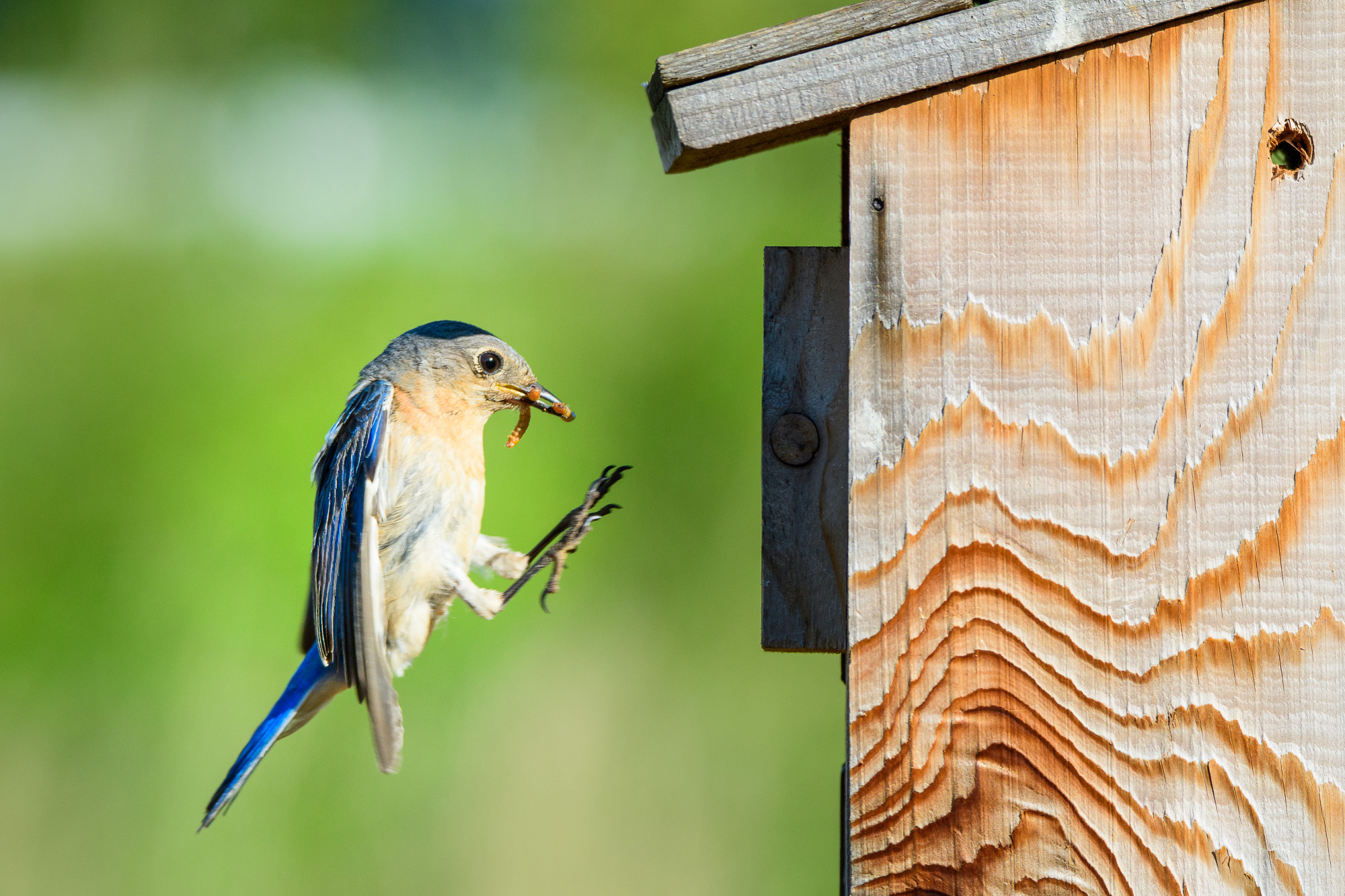 female eastern bluebird bringing food to the nest
