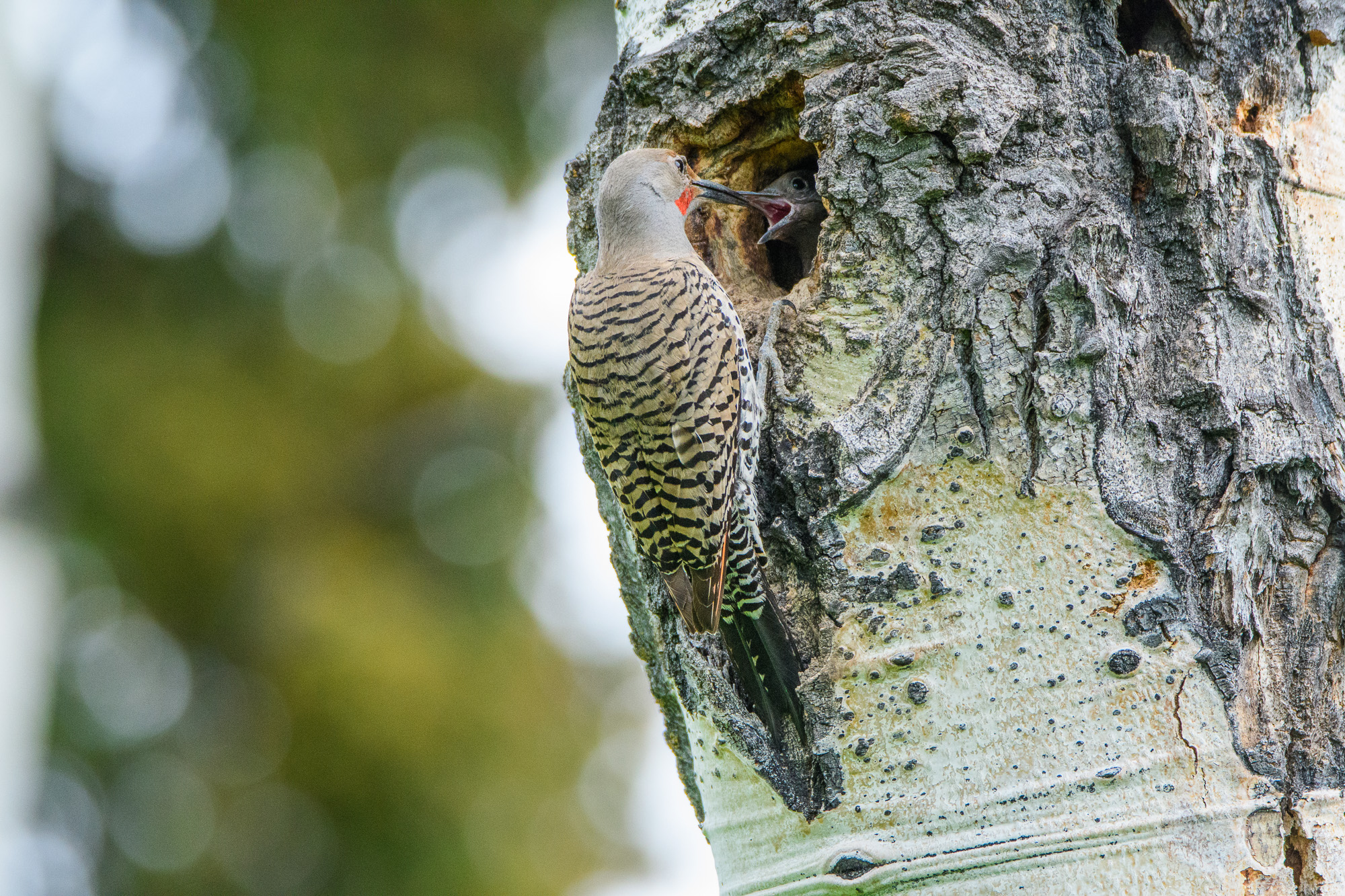 northern flicker feeding chick