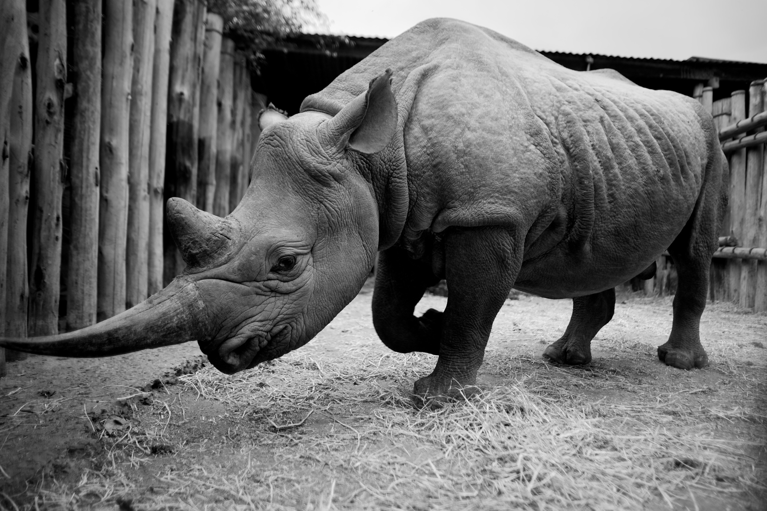 Solio, a female black rhino, rests in her pen atThe David Sheldrick Wildlife Trust outside of Nairobi, Kenya. Solio,named for the region where she was rescued, was orphaned by poachers asa six-month-old.In 1970, at least20,000 black rhinos lived in Kenya. Today, poaching and environmental pressures have cut the number down to 540.