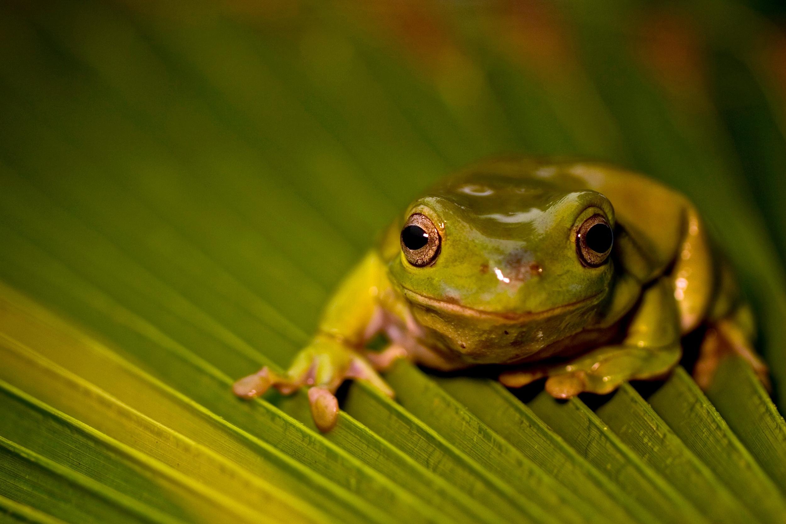 Australian green tree frog, captive. (Santa Barbara, Calif.)
