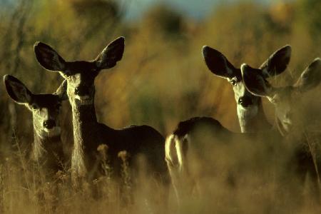 Mule_Deer_Herd.jpg