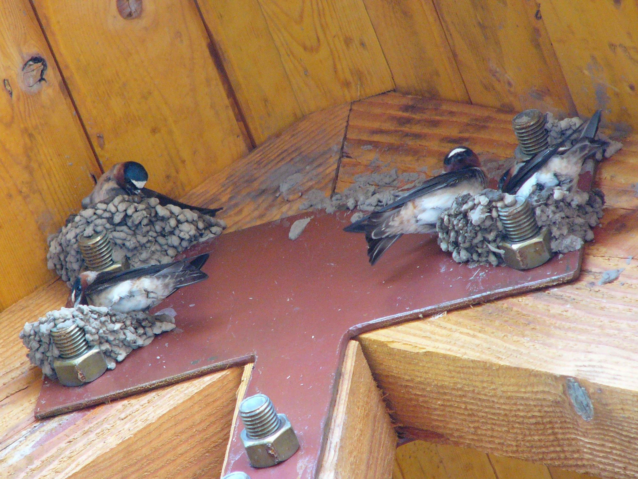 bcs P1010035 Cliff Swallows nest building.jpg
