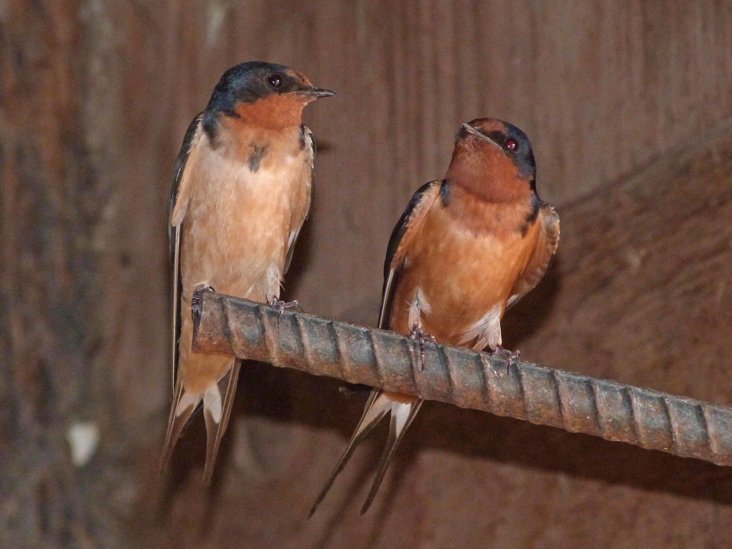 bcs P1060483 Barn swallows.jpg