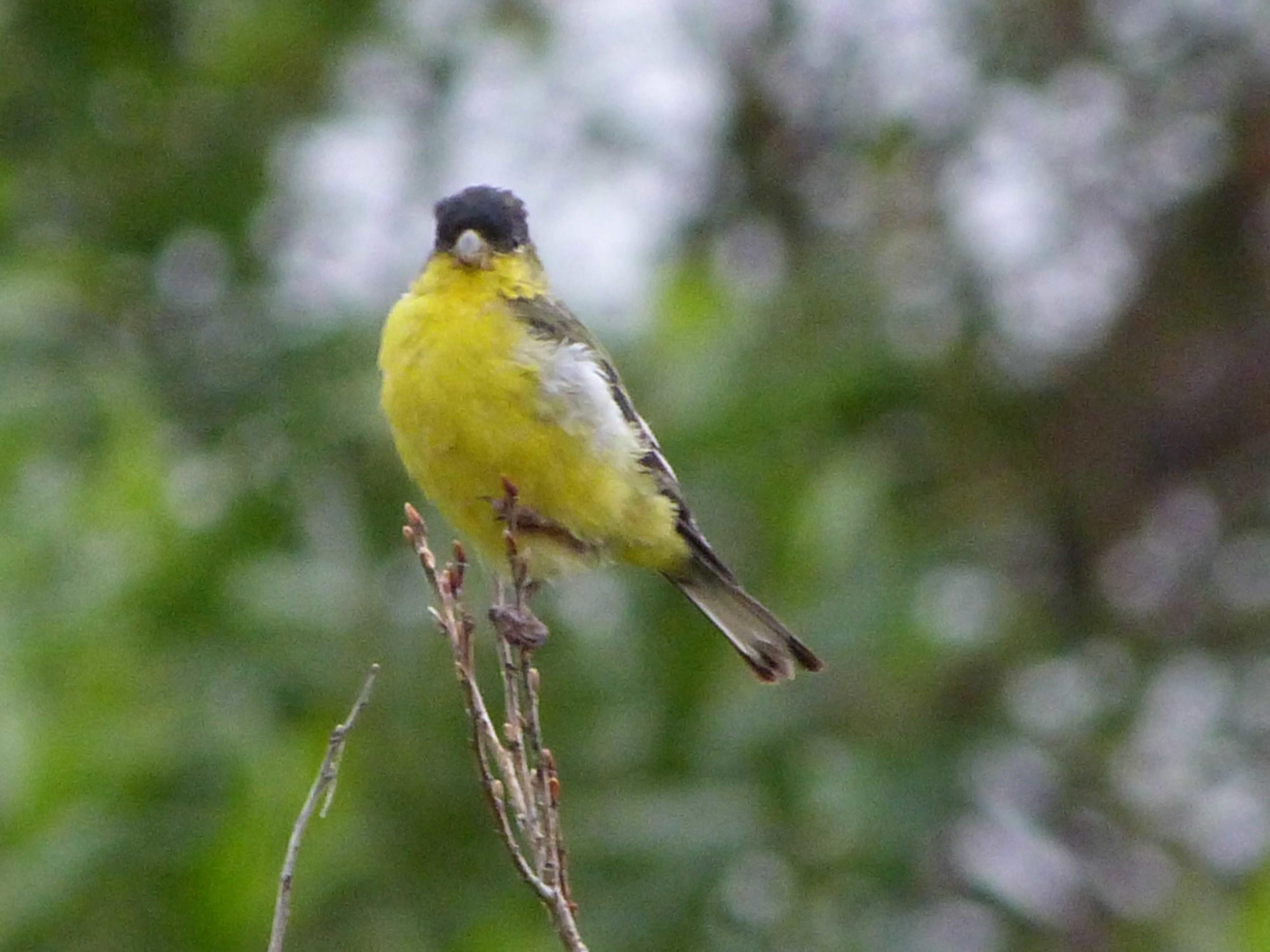 bhm P1060524 Lesser Goldfinch.jpg