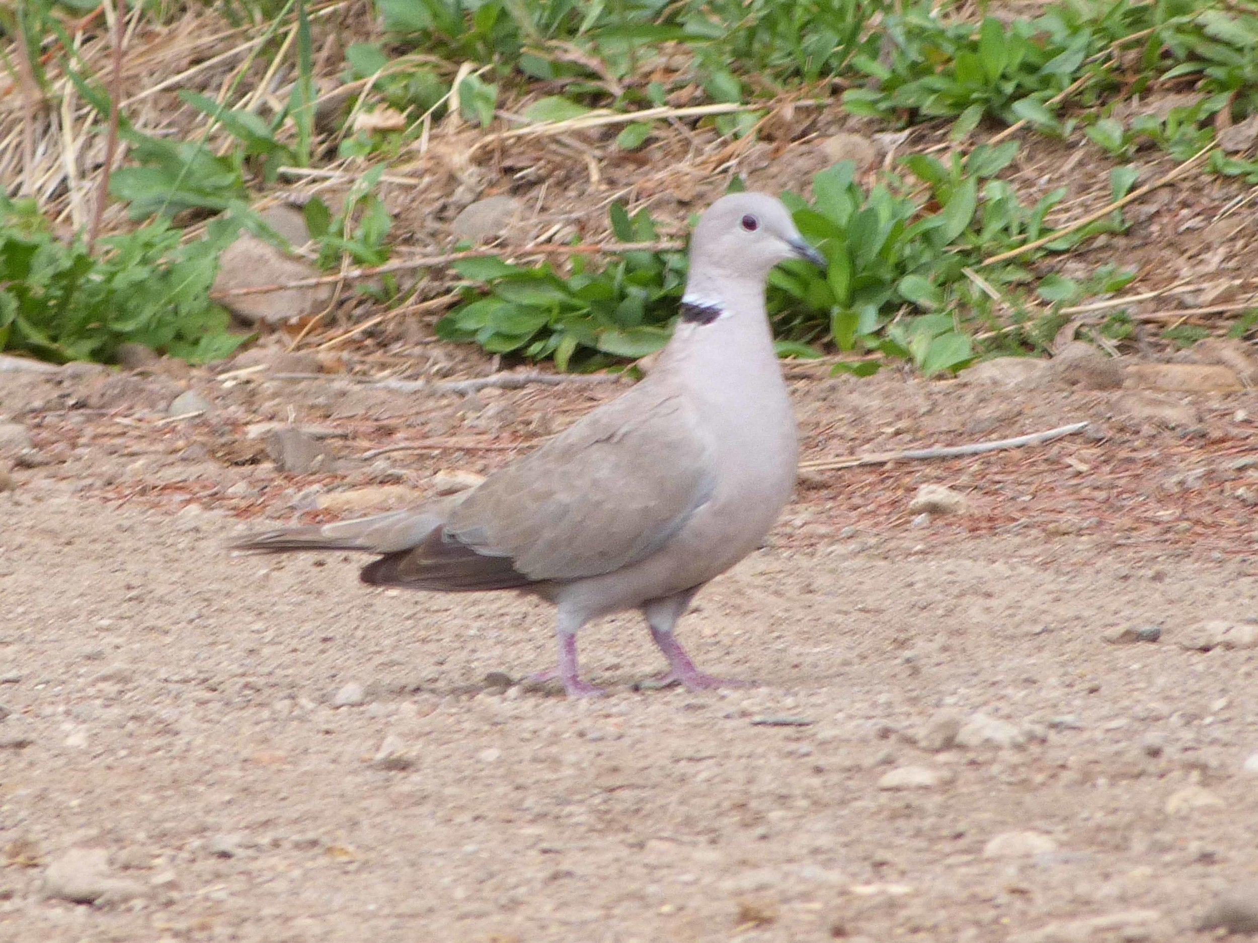 bc P1060590 Euras collared dove.jpg