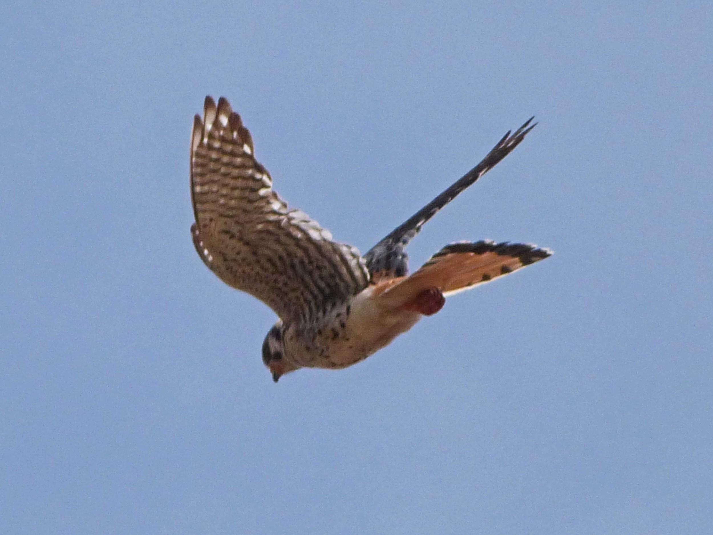 bhm P1060724 American Kestrel flying.jpg