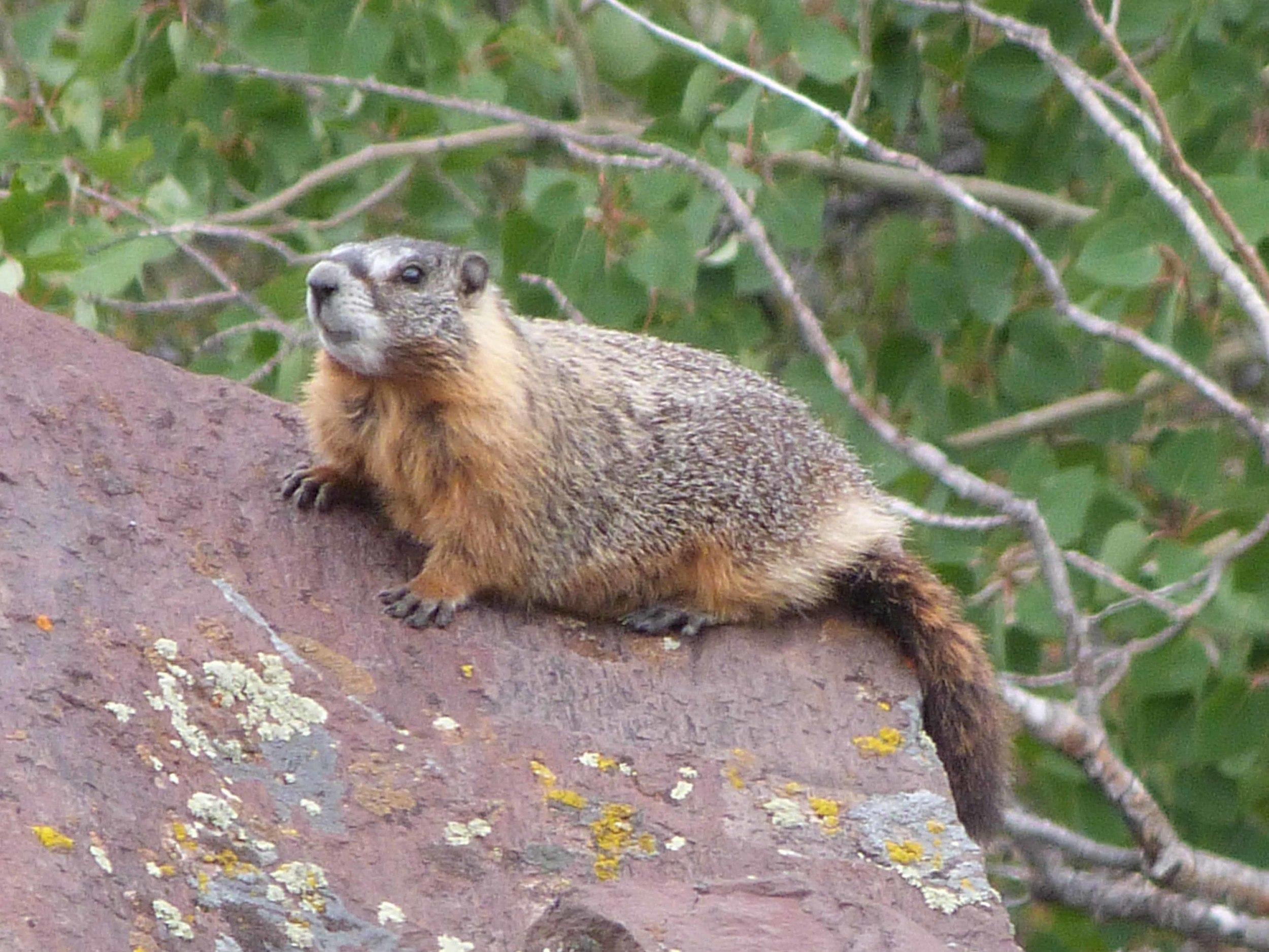 a P1060759 Yellow-bellied Marmot.jpg