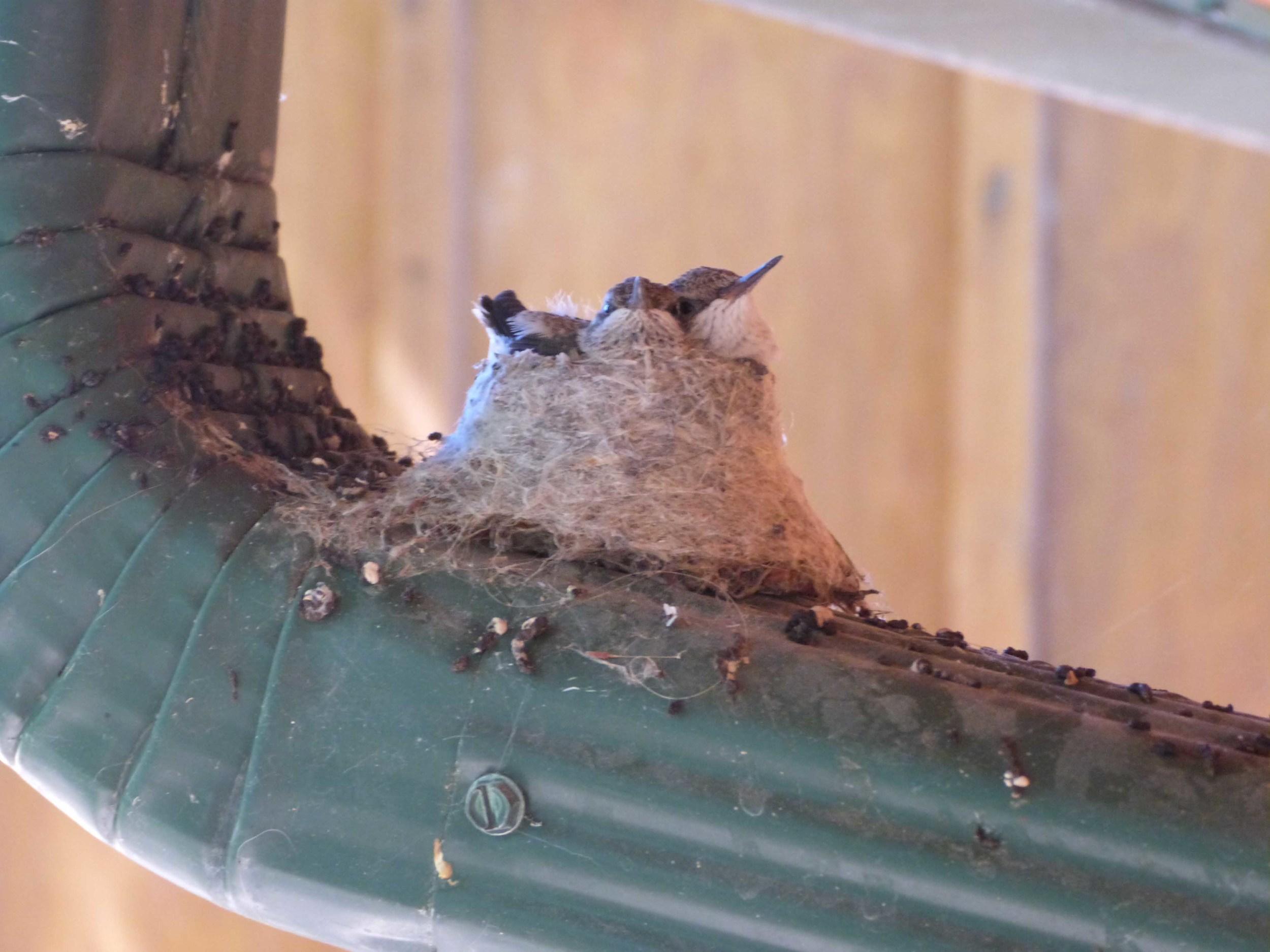 bchbc P1060978 BC Hummer nest.jpg