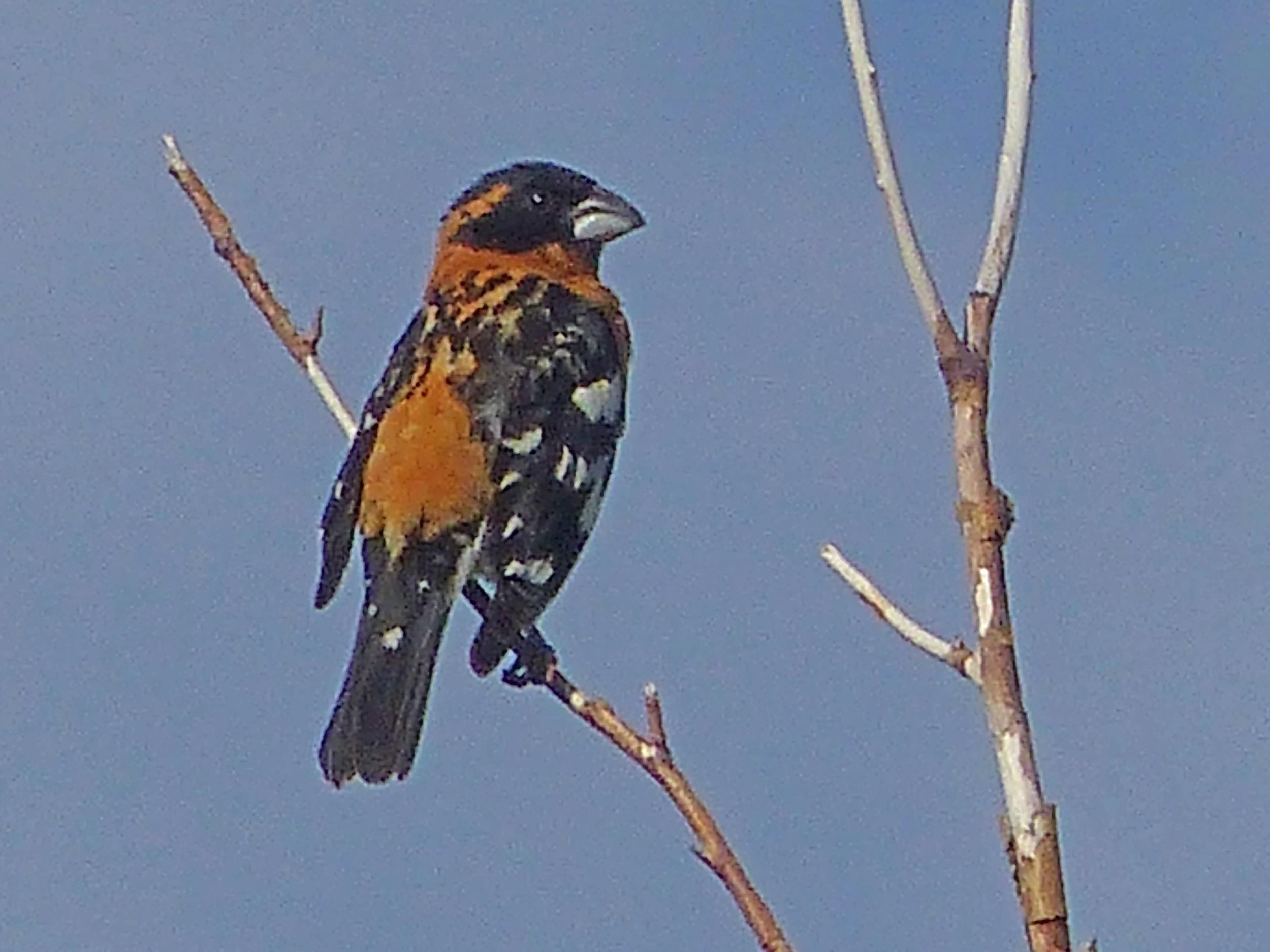 bhm P1150648 Black-headed Grosbeak.jpg