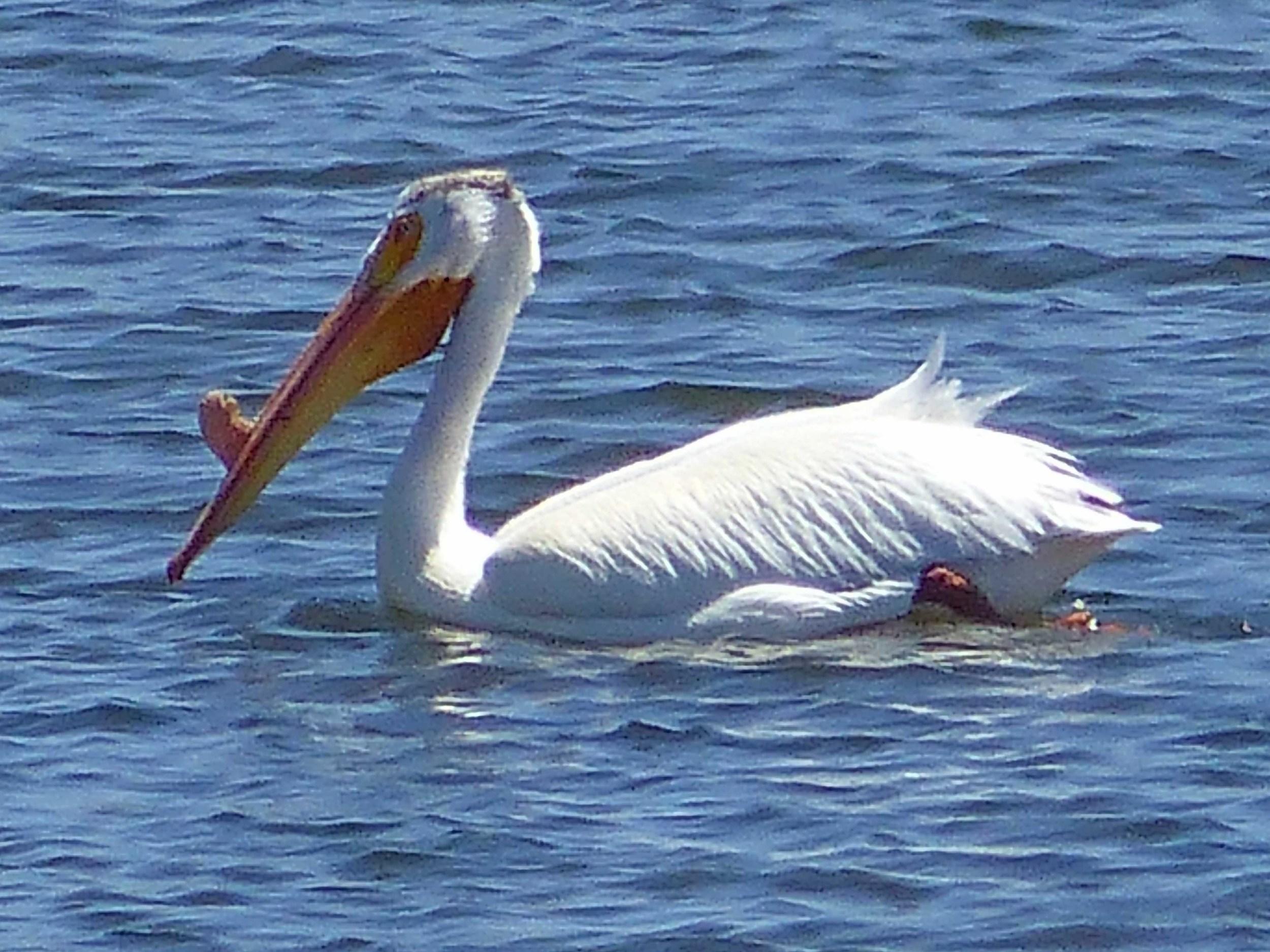 br P1150751 White pelican.jpg