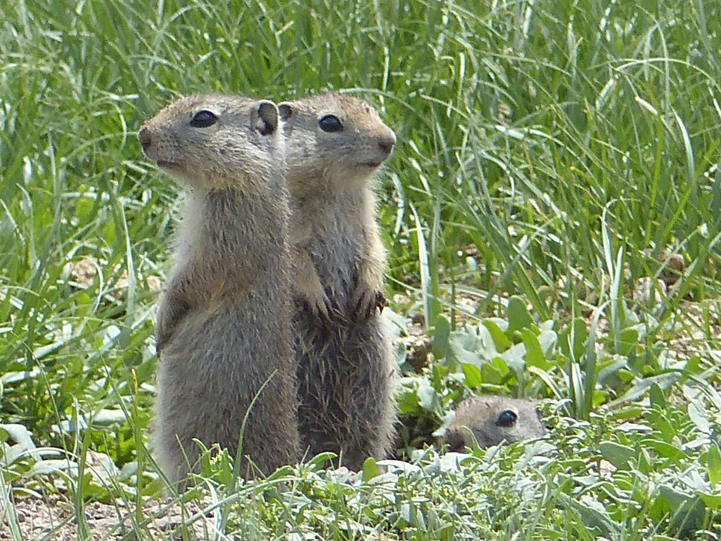 a P1150893 Ground squirrels.jpg