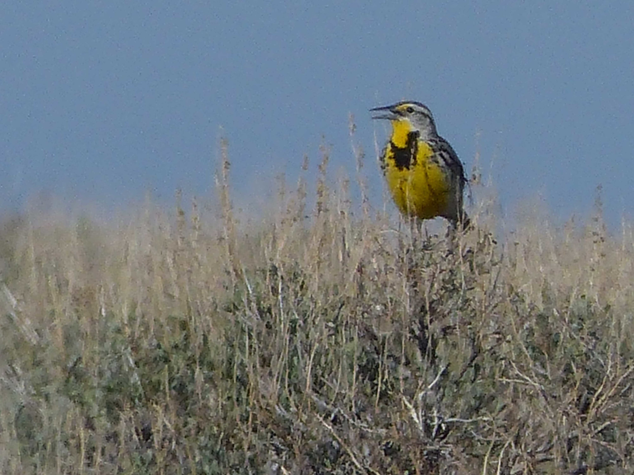 bs P1160001 Western Meadowlark.jpg