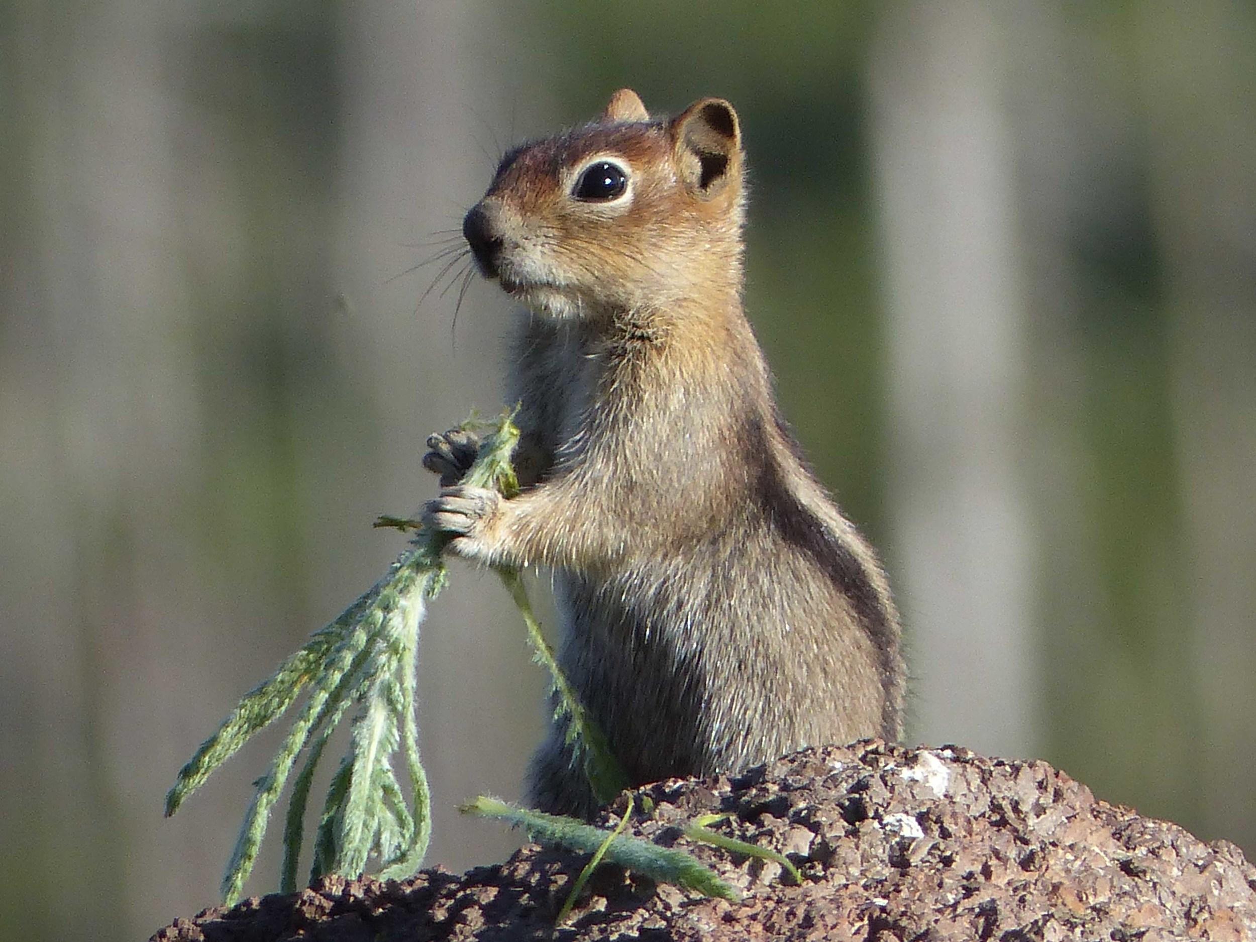 a P1160005 Golden-mantled Ground Squirrel.jpg