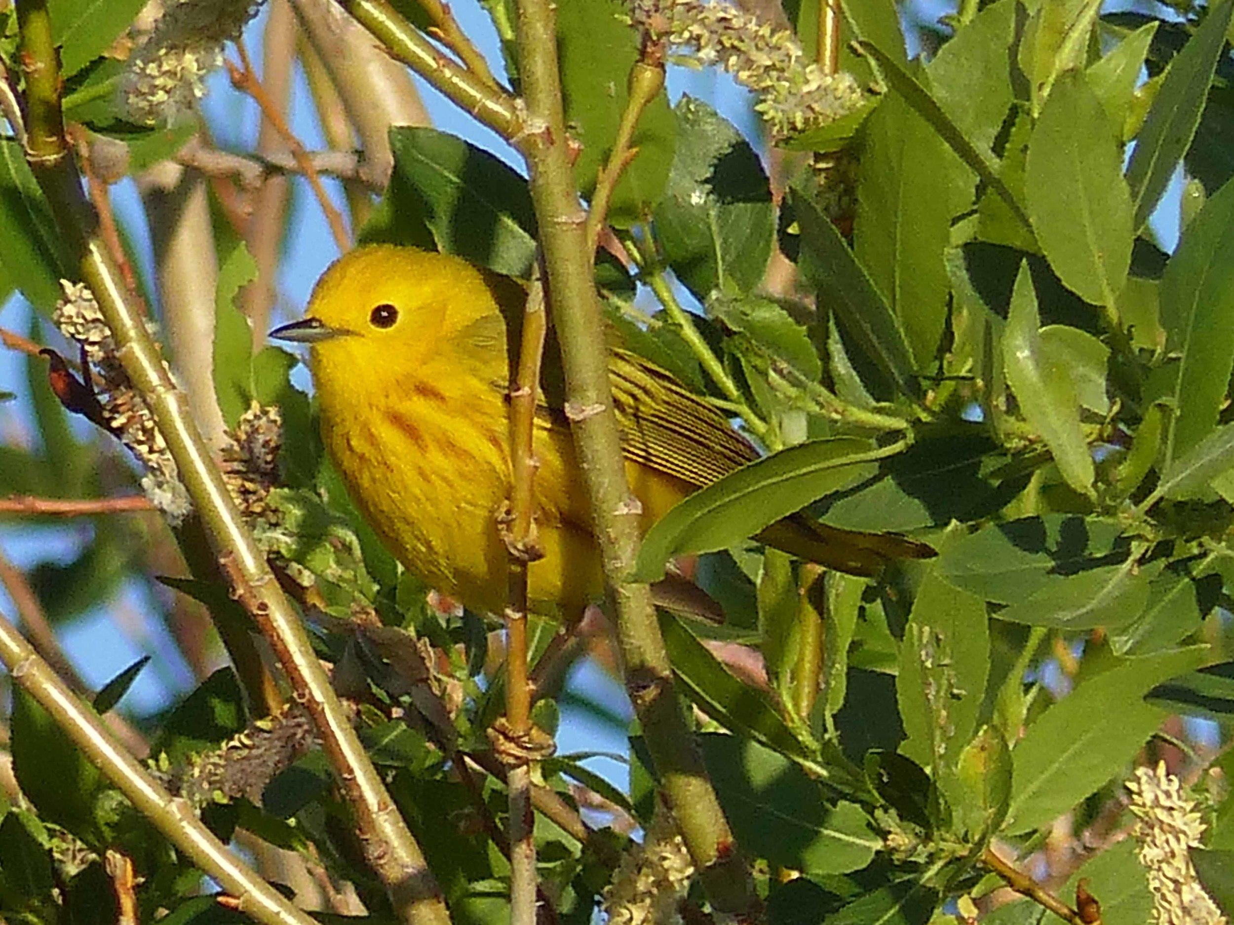 bc P1160056 Yellow Warbler.jpg
