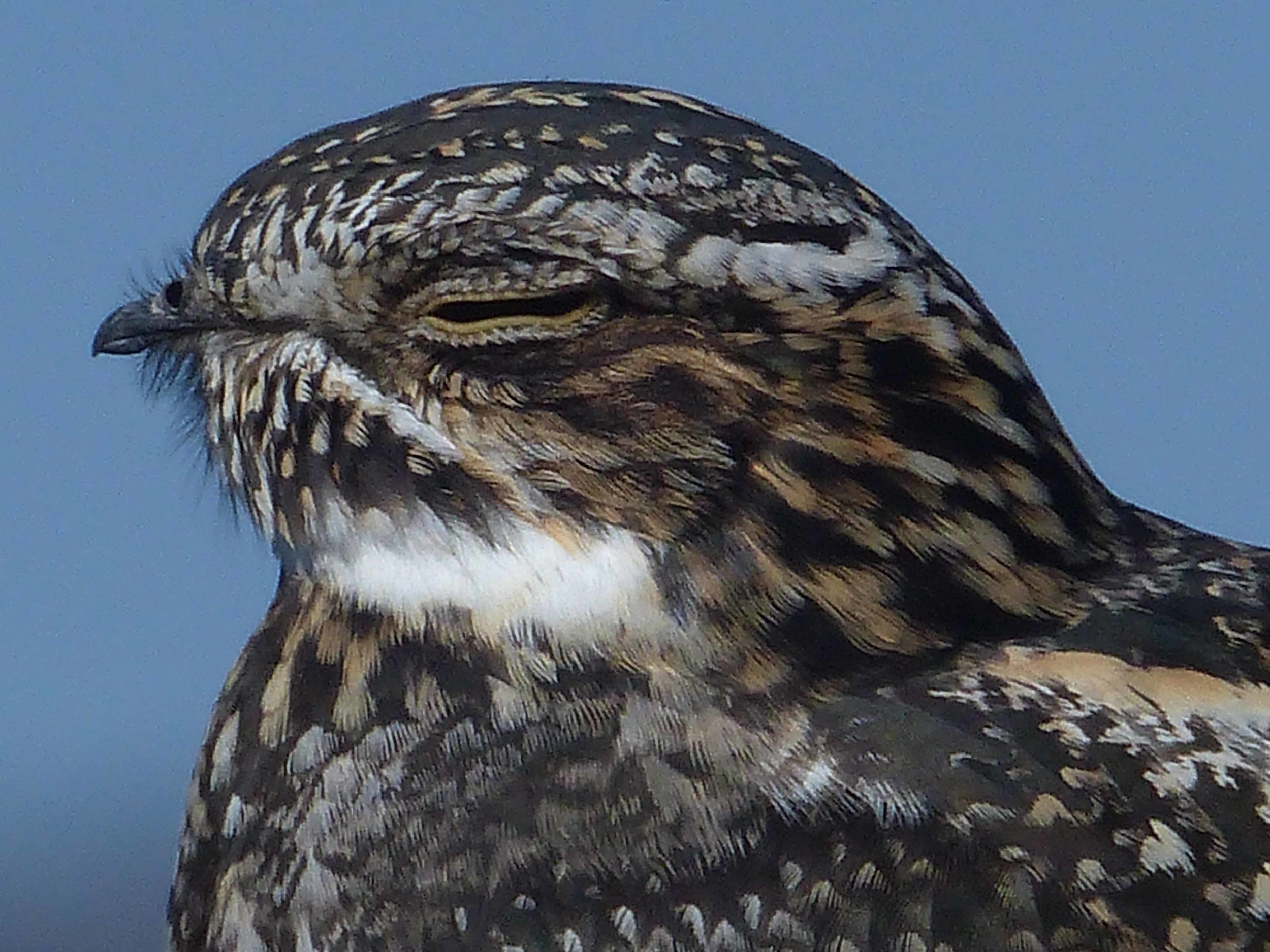 bcn P1160089 Common Nighthawk head.jpg