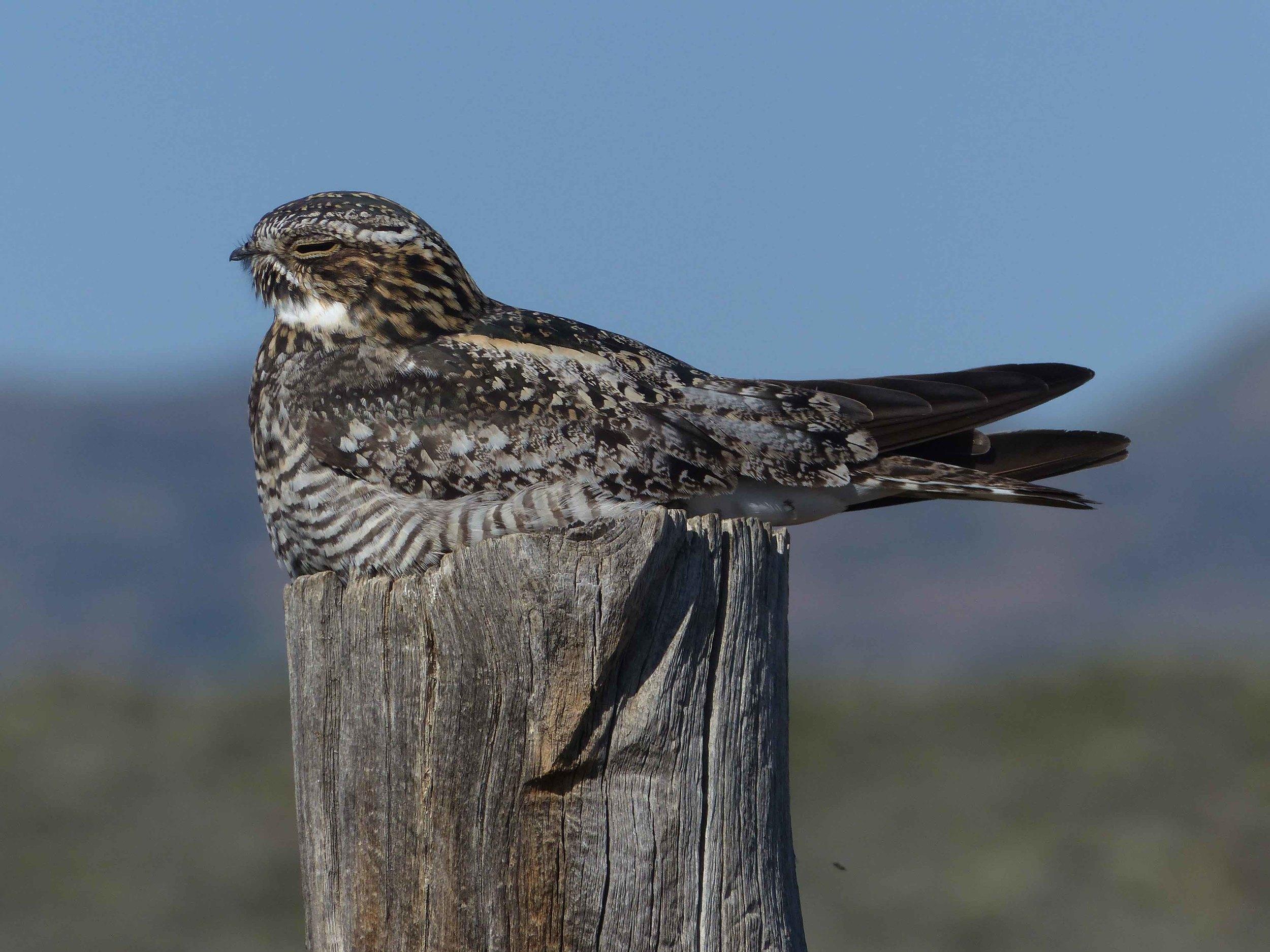 bcn P1160091 Common Nighthawk sitting.jpg