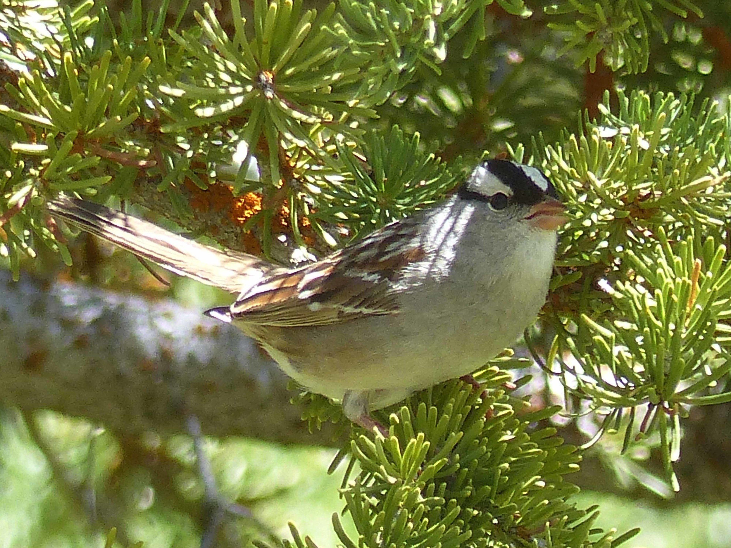 bc P1160201 Whitecrown Sparrow.jpg