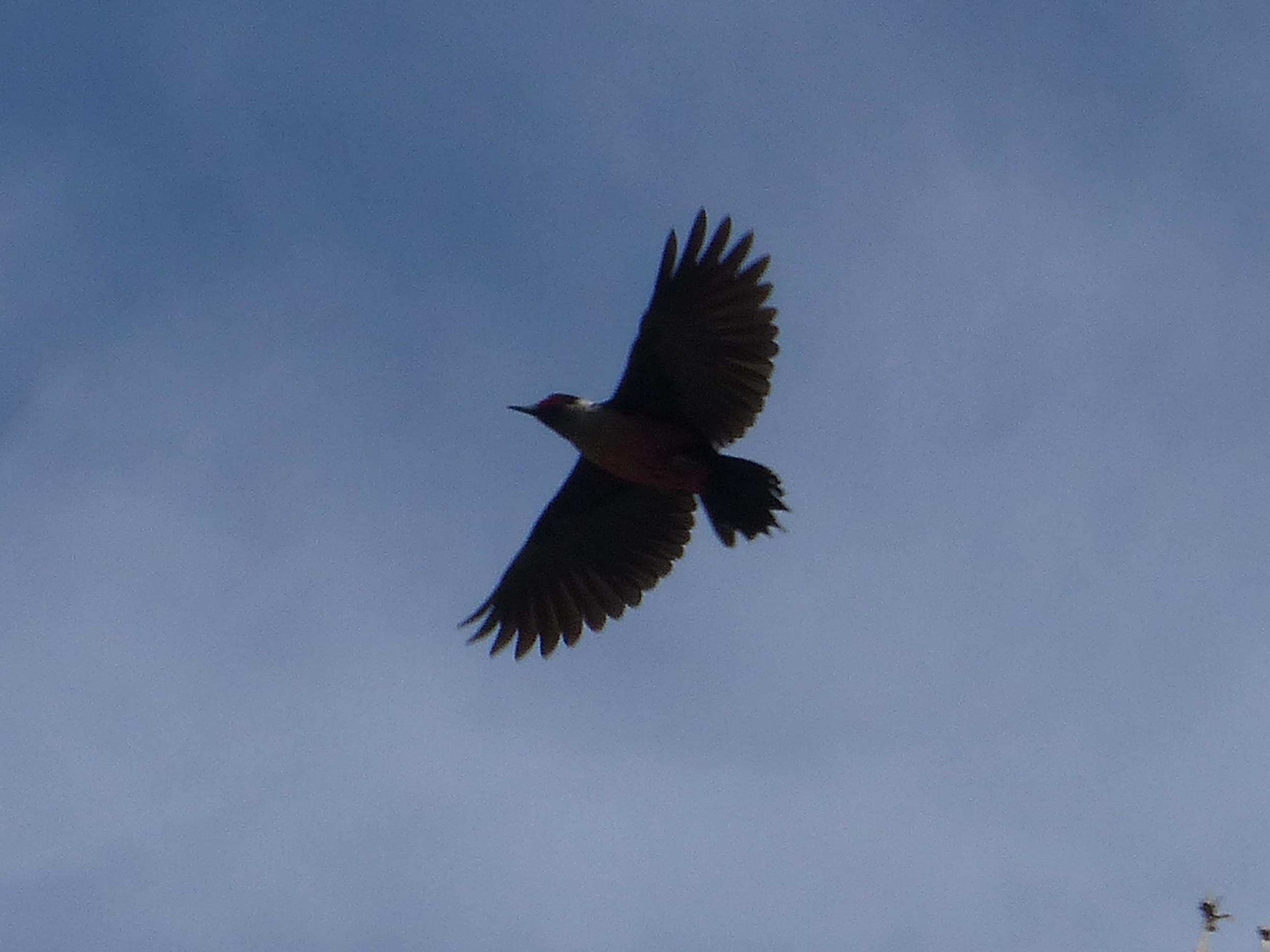 bhm P1160274 Lewiss Woodpecker flying.jpg