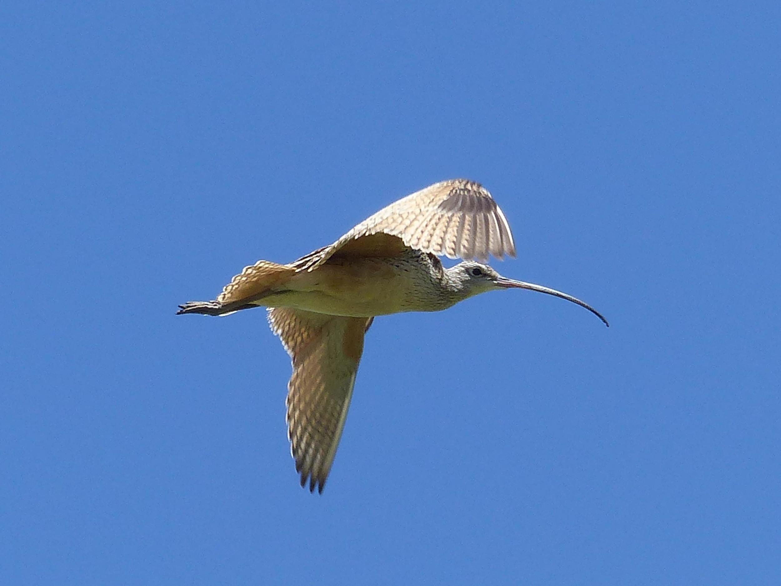 bm P1160524 Long-billed Curlew watching.jpg