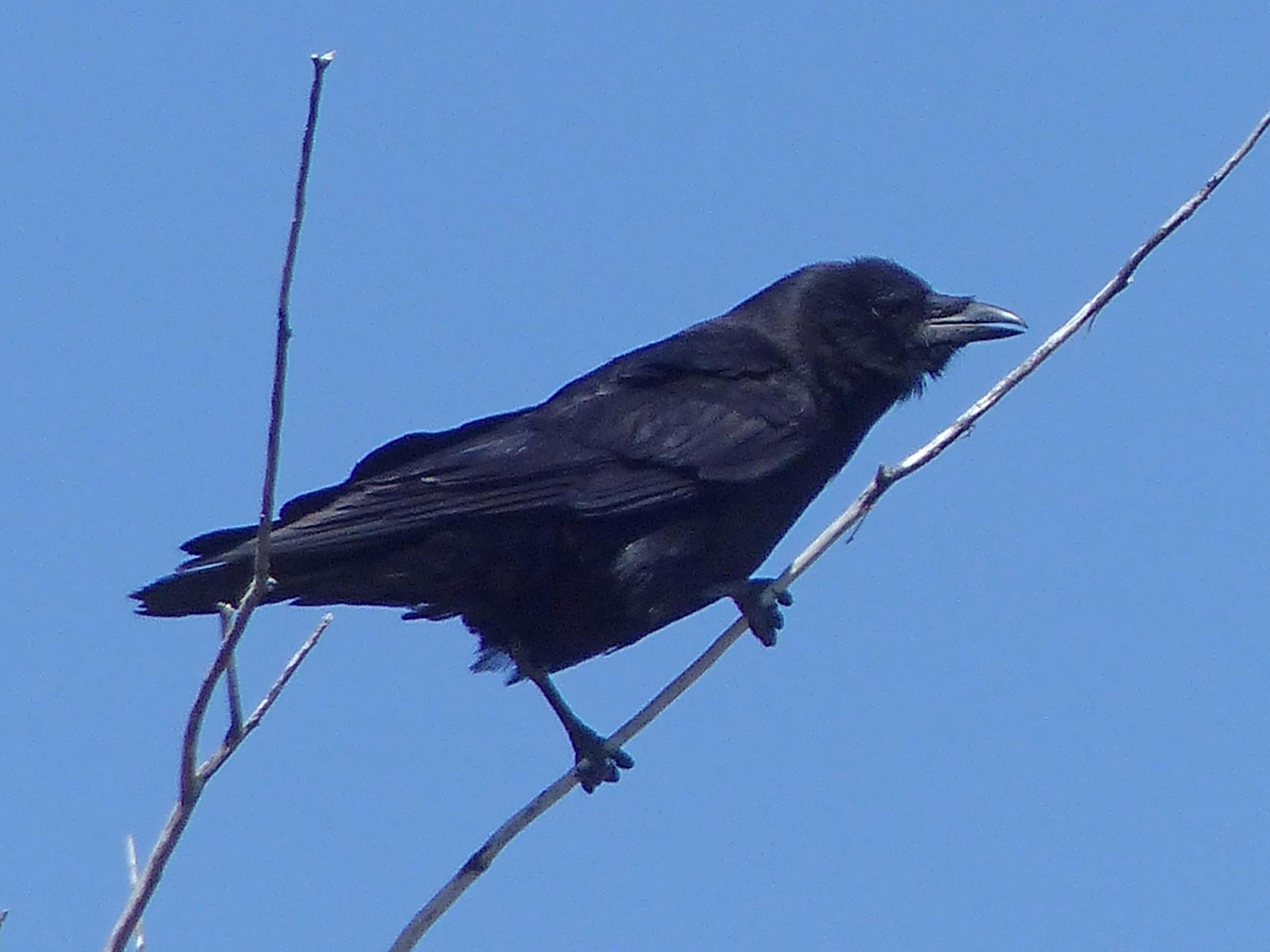 bcc P1160563 Am crow.jpg