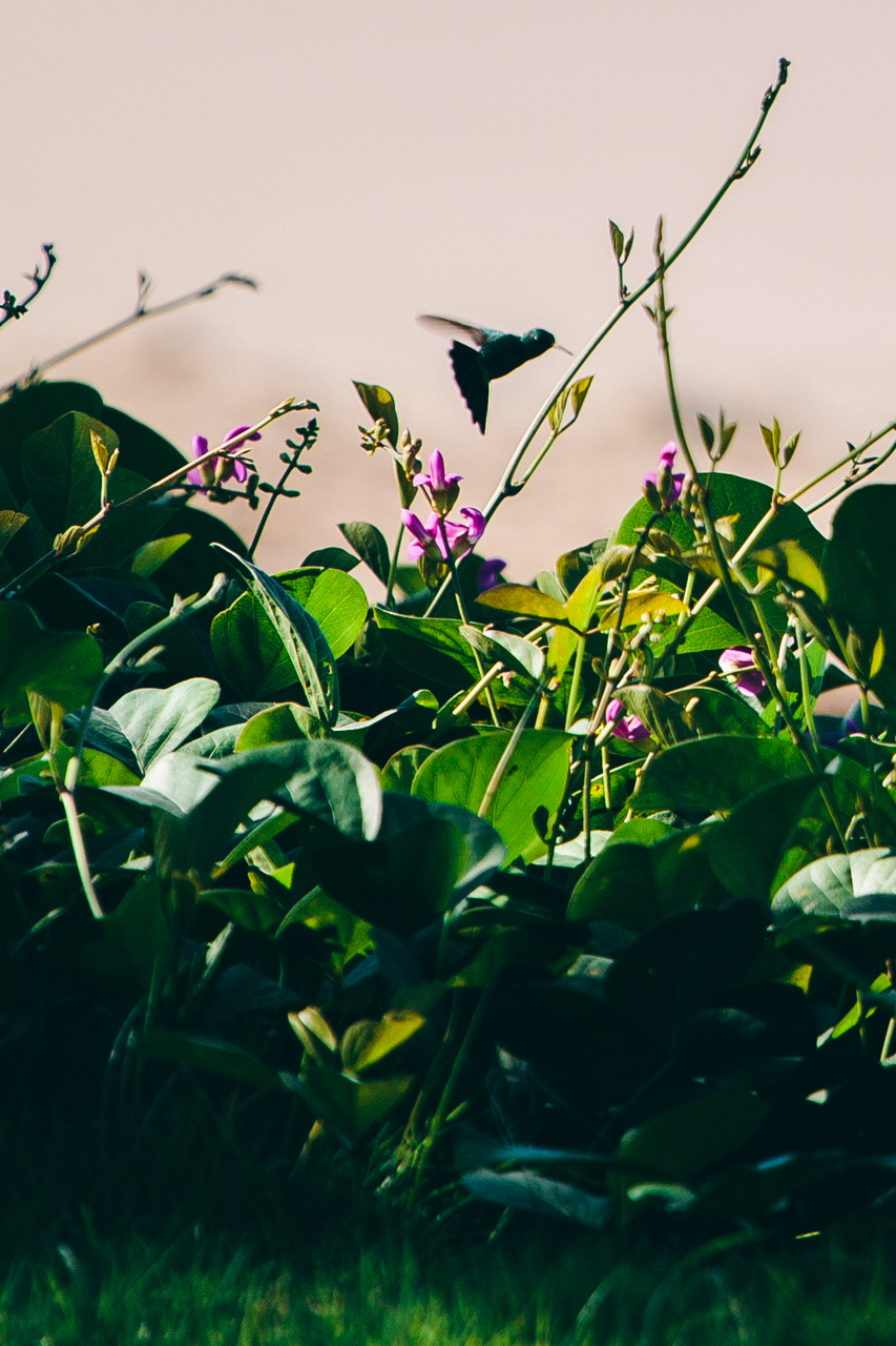 colibri nicaragua