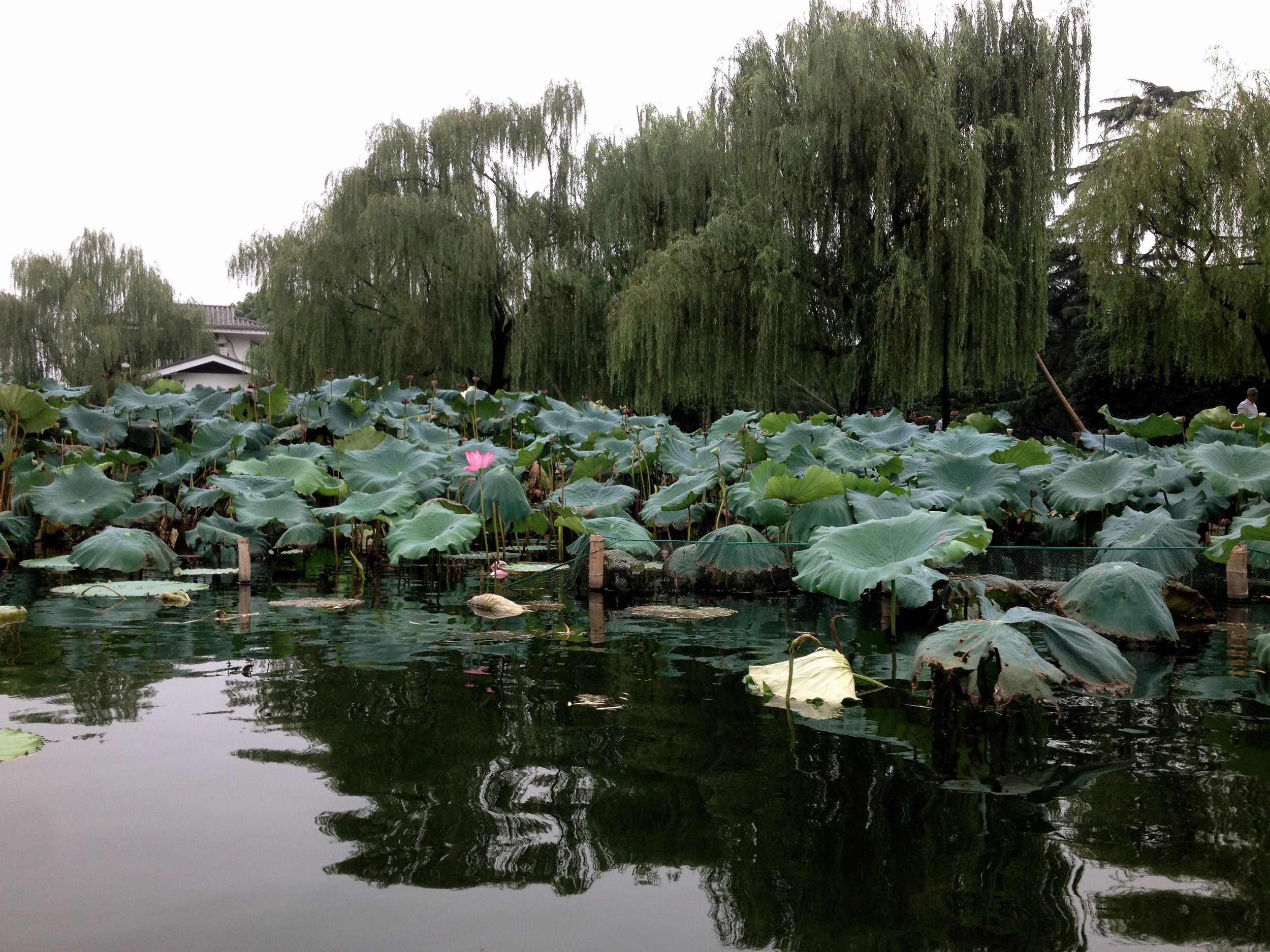 Water lily's, not in their best season (July)