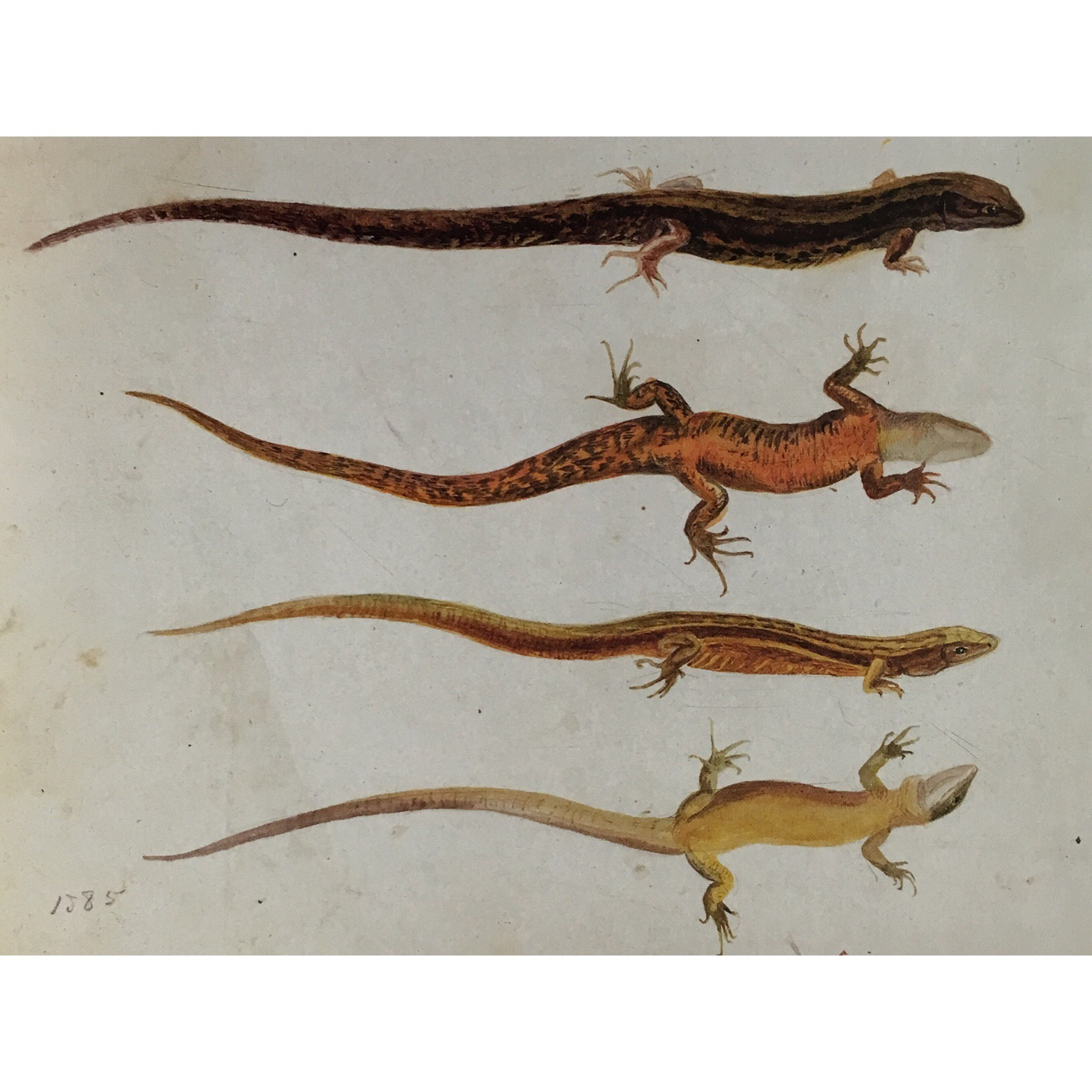 watercolor study of lizards, age 19