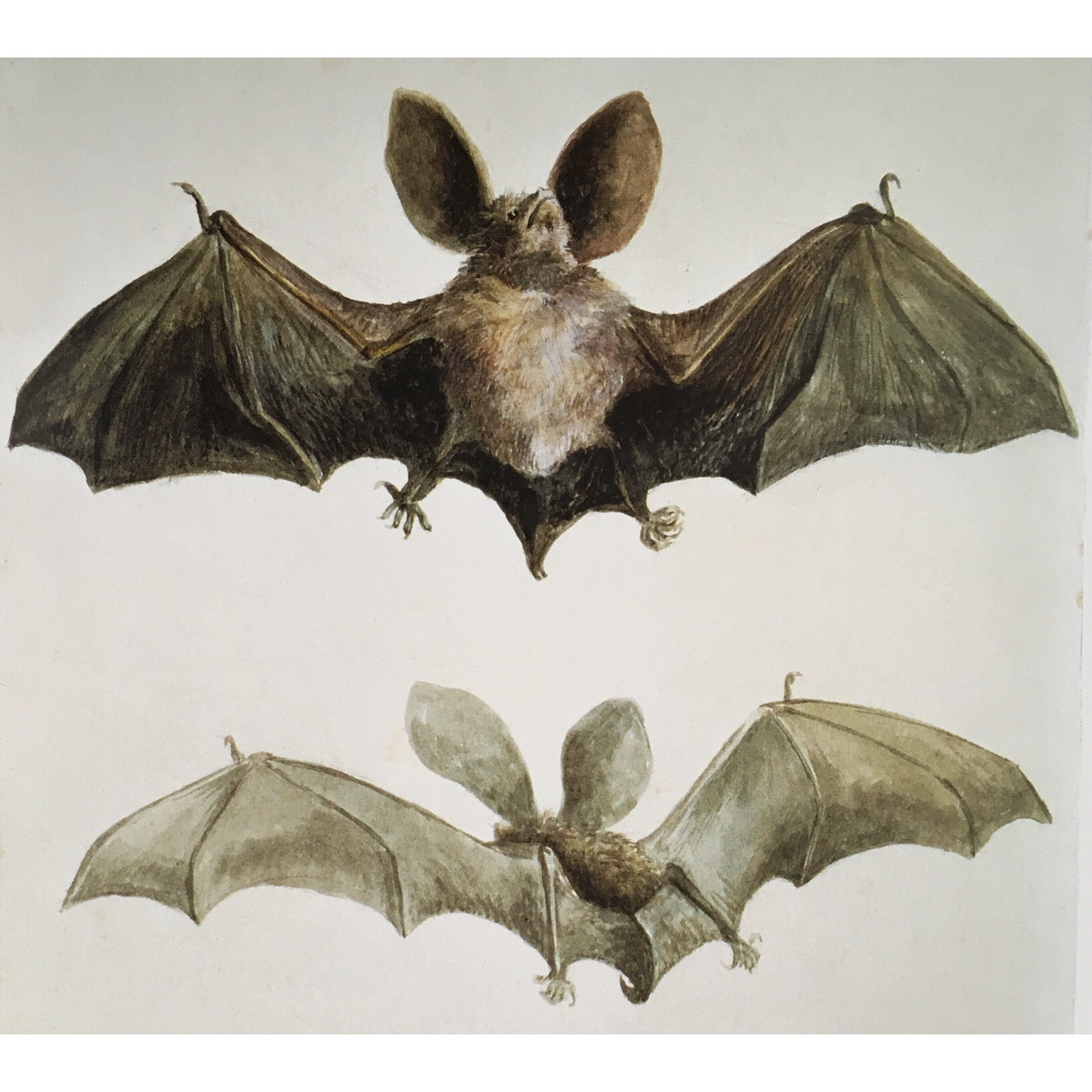 study of a bat, though this one isn't his, Beatrix looked after Bertram's pet bat while he was away at school
