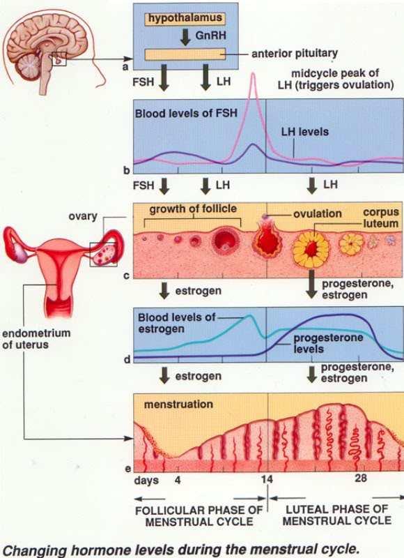 Menstrualchanginghormones.jpg
