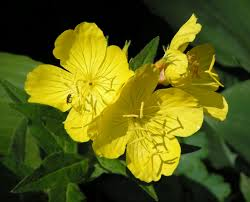 Evening Primrose...not just a pretty flower