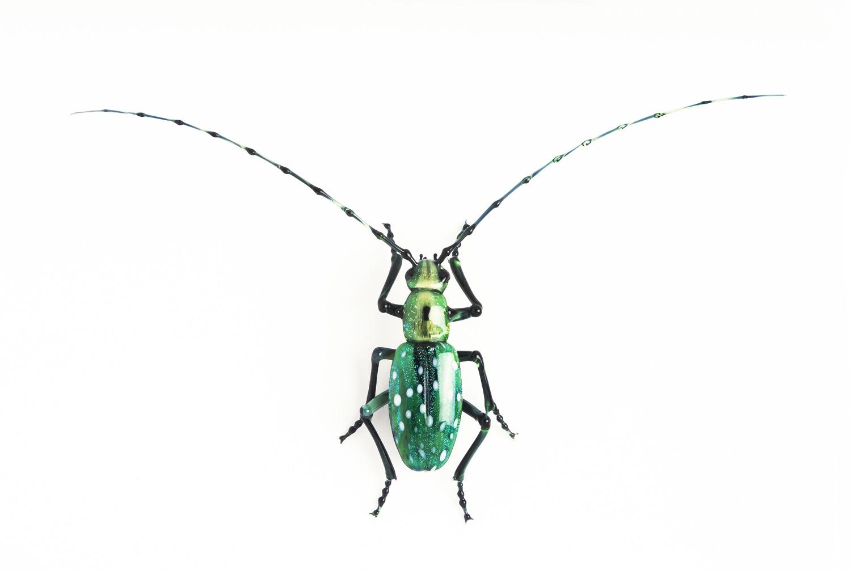 Vittorio Costantini, Cerambycidae Lamiinae Calloplophora solli (2005, soda-lime glass, 2 7/8 x 4 7/8 x 3/4 inches), VC.67