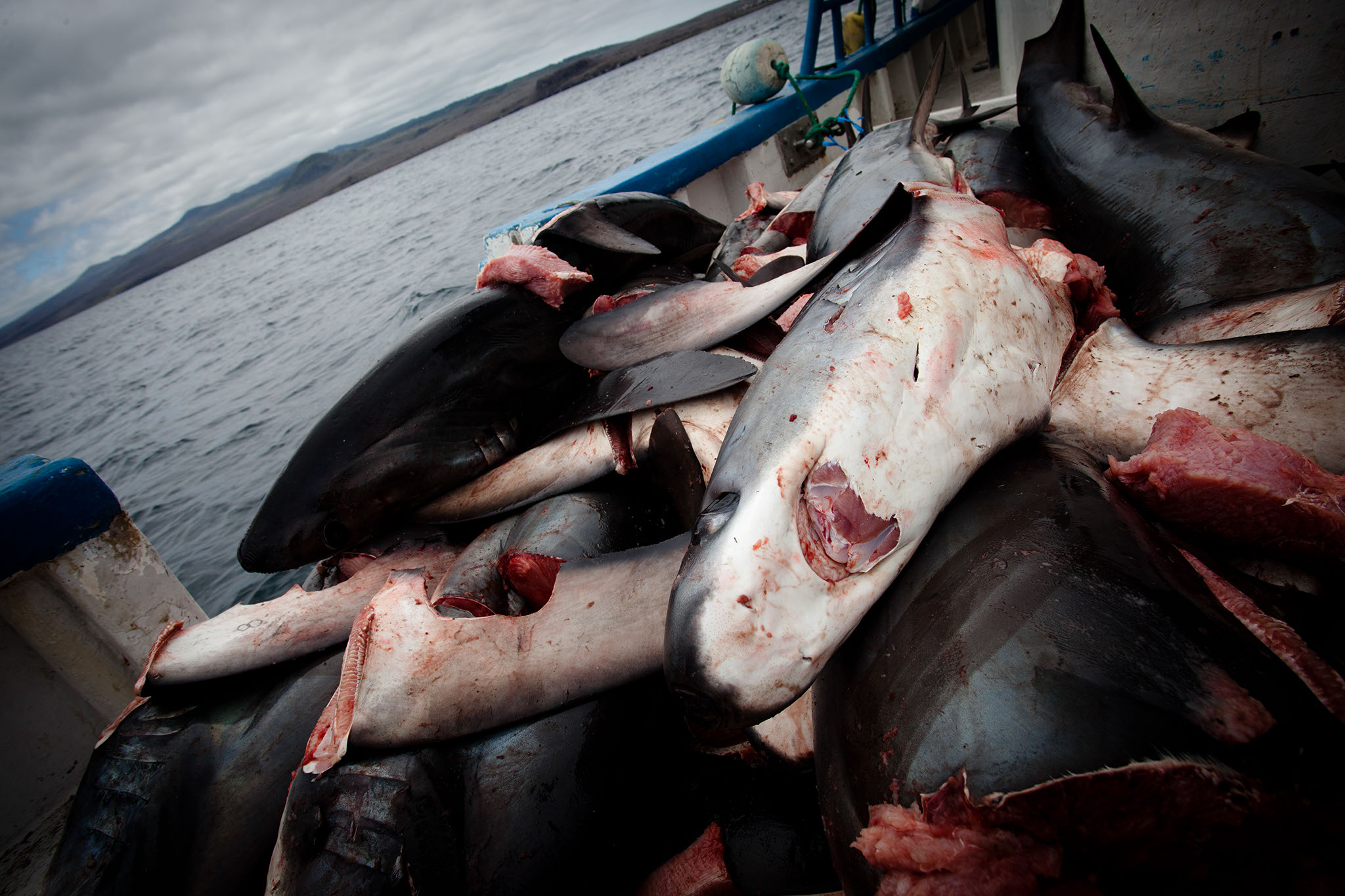 HumanAnimal__Shark_Finning_13.jpg