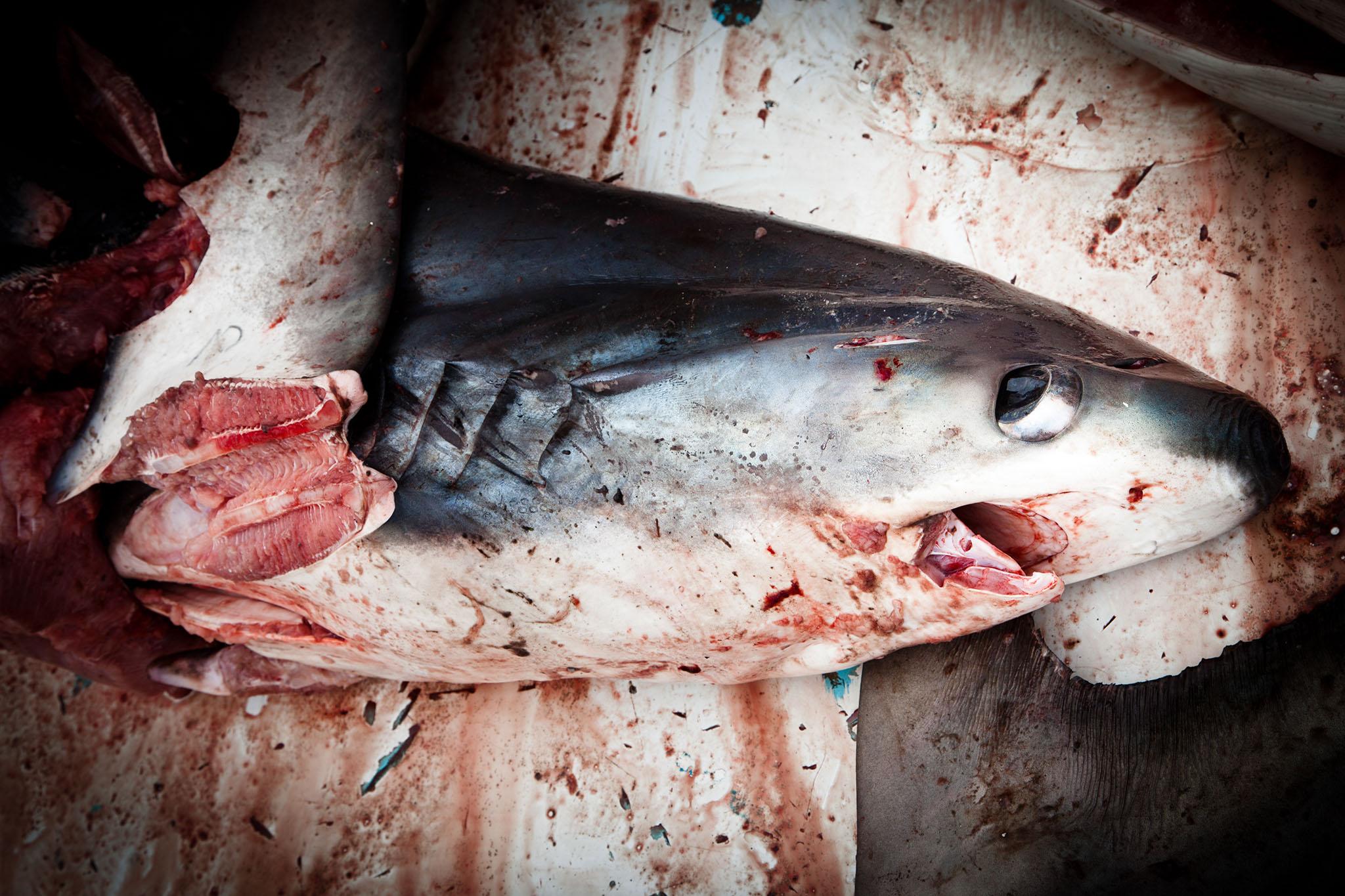 HumanAnimal__Shark_Finning_20.jpg