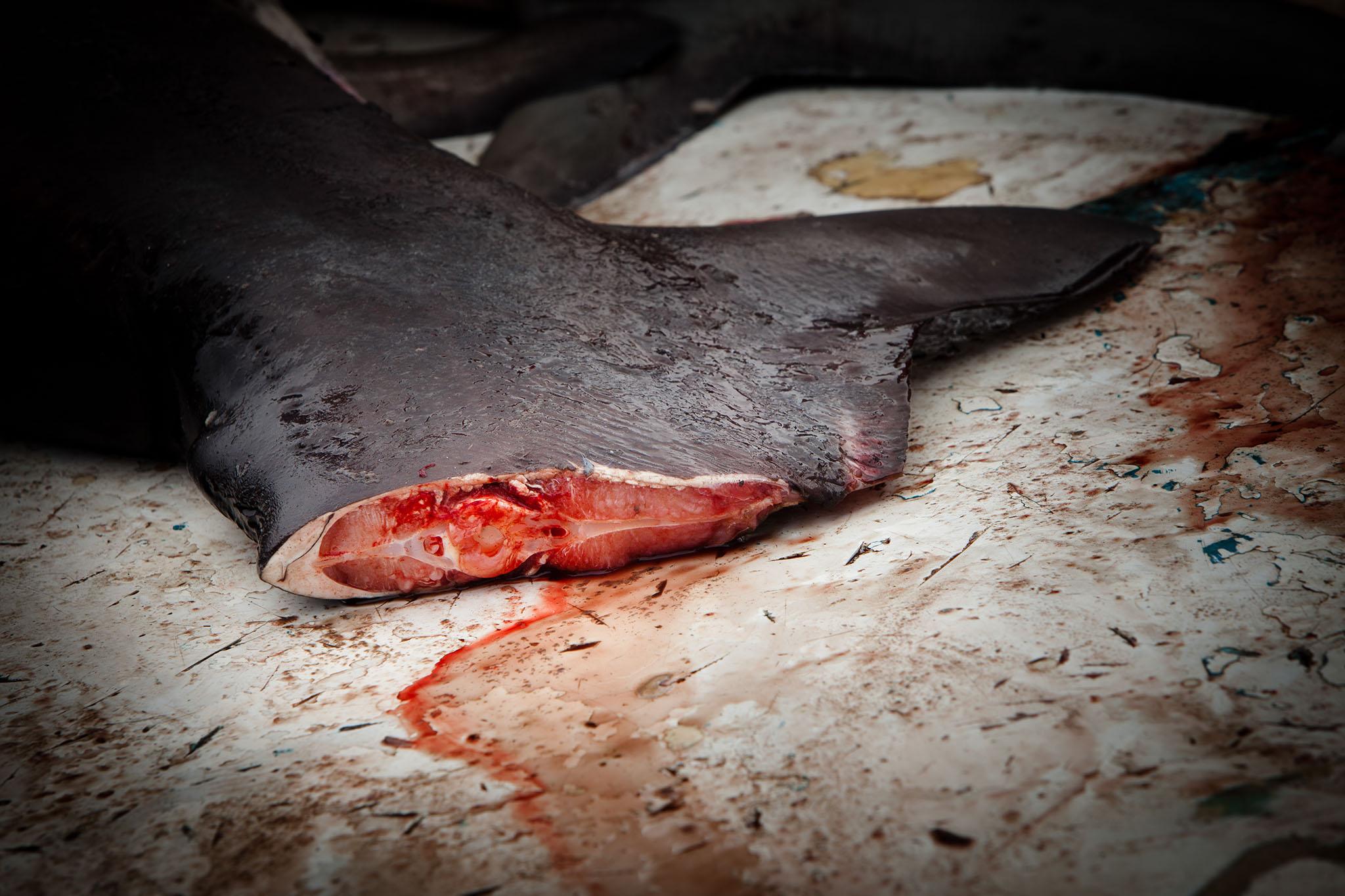 HumanAnimal__Shark_Finning_26.jpg