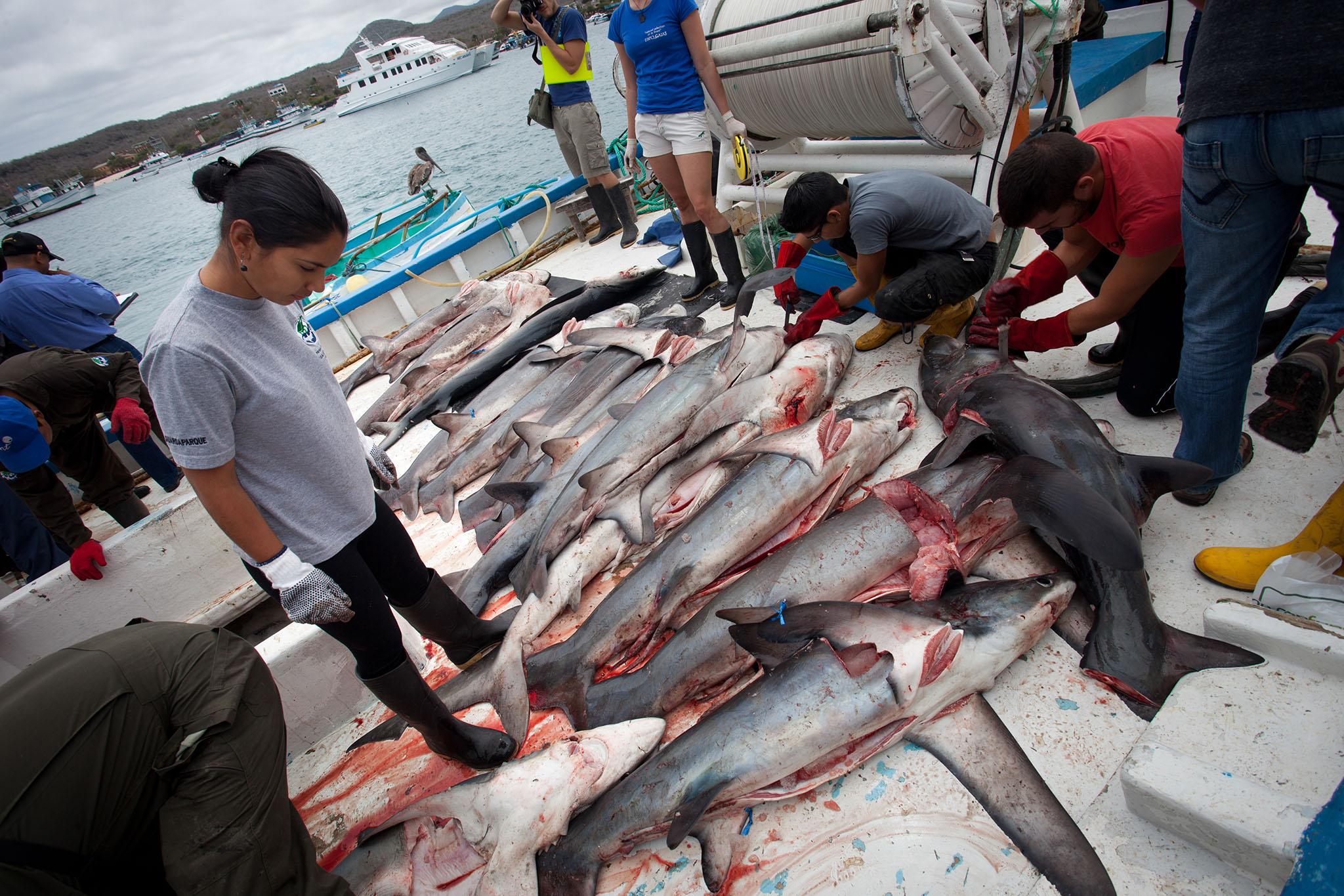 HumanAnimal__Shark_Finning_31.jpg