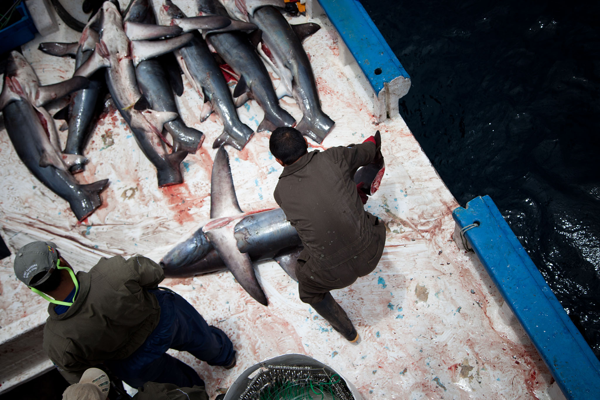 HumanAnimal__Shark_Finning_36.jpg