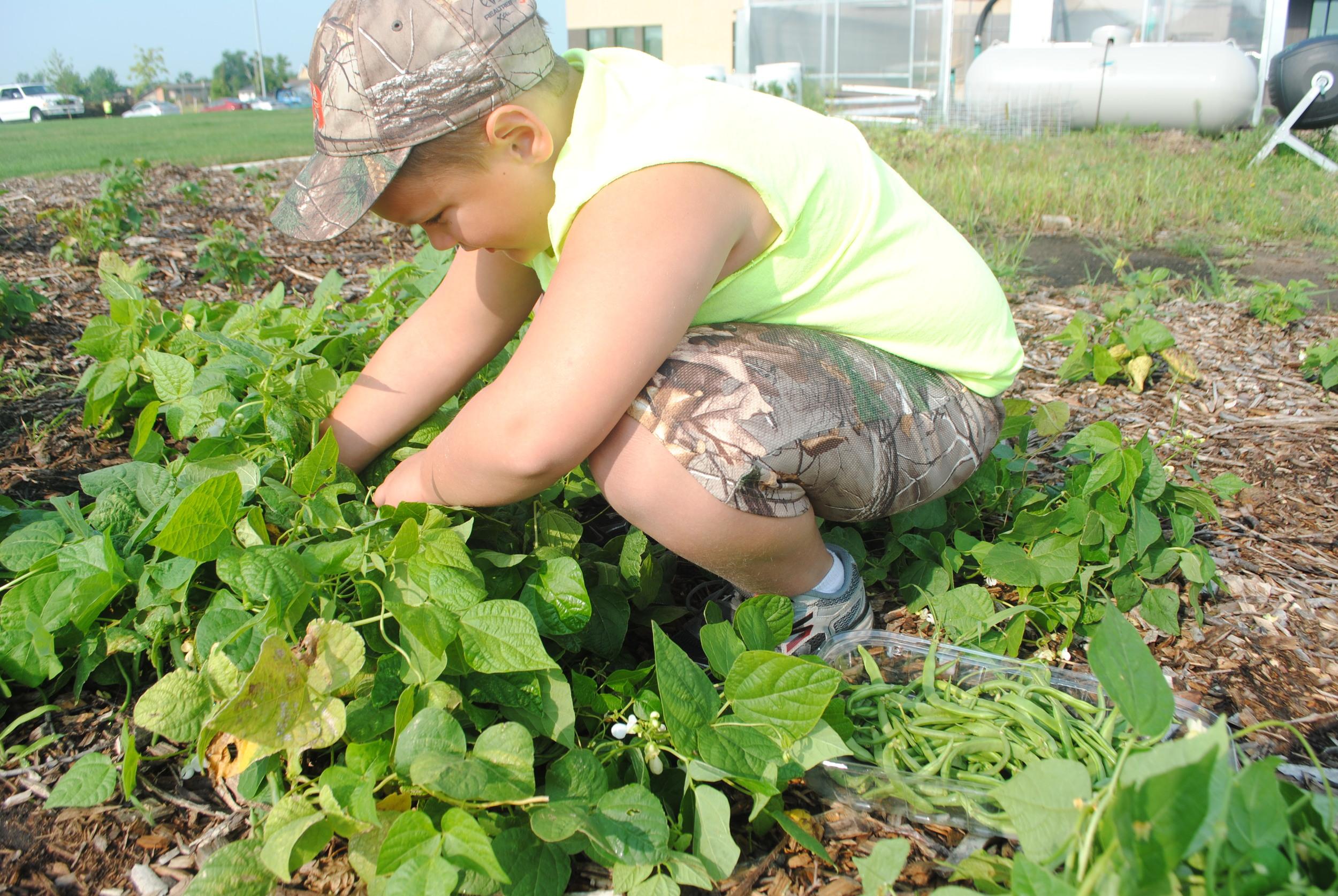 Carter Worden, 7, picks green beans in the school garden. Carter said picking beans is his favorite to pick in the garden.