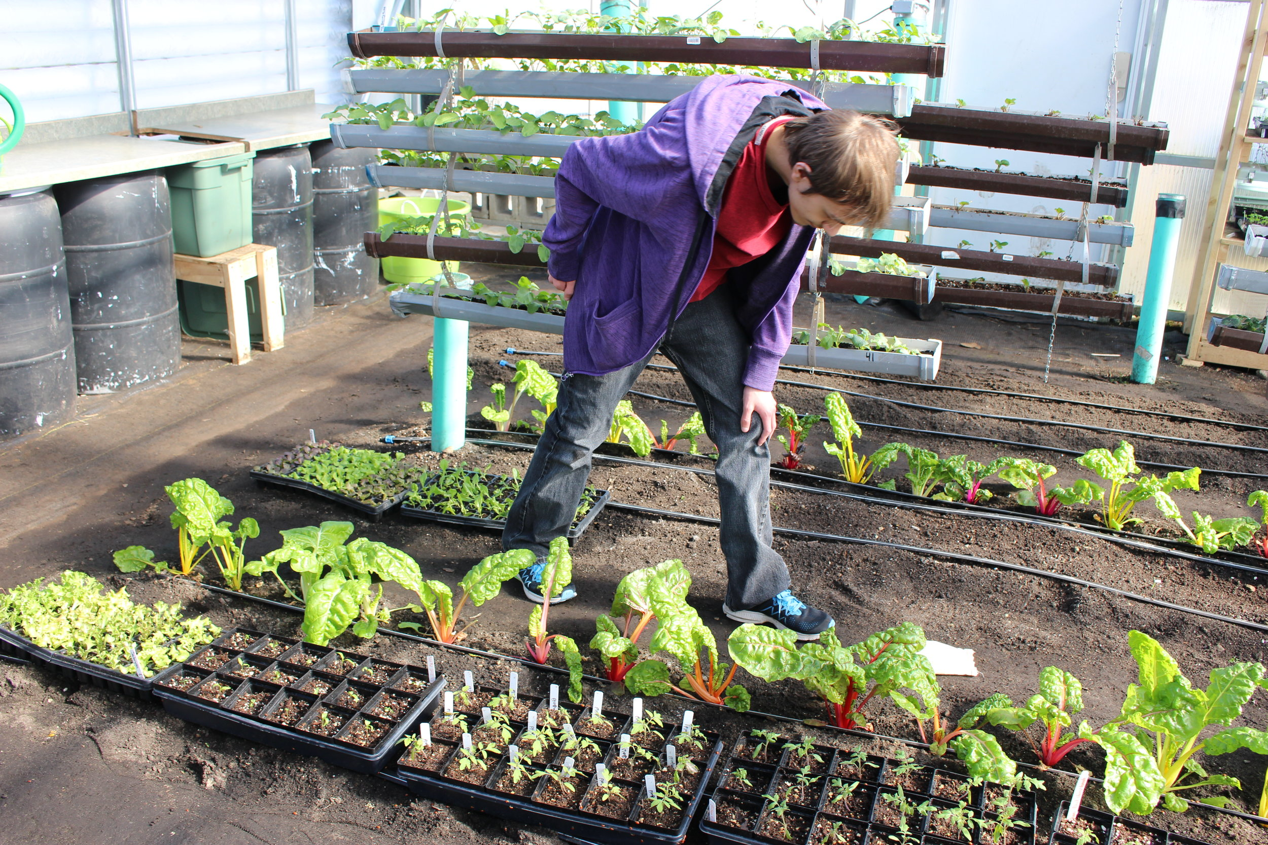 Riley Kasperson watches ladybugs find their new home on Swiss chard and other plants in the WDC Greenhouse where they will eat aphids.