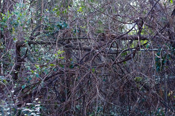 Overgrown Vines on Fence