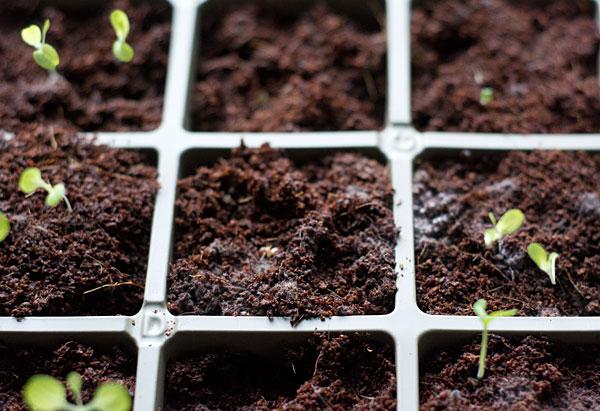 white mold on seedlings