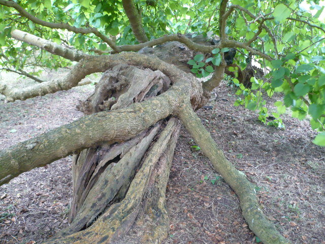Ancient_mulberry_tree_at_Loseley_Park_-_geograph.org.uk_-_881299.jpg