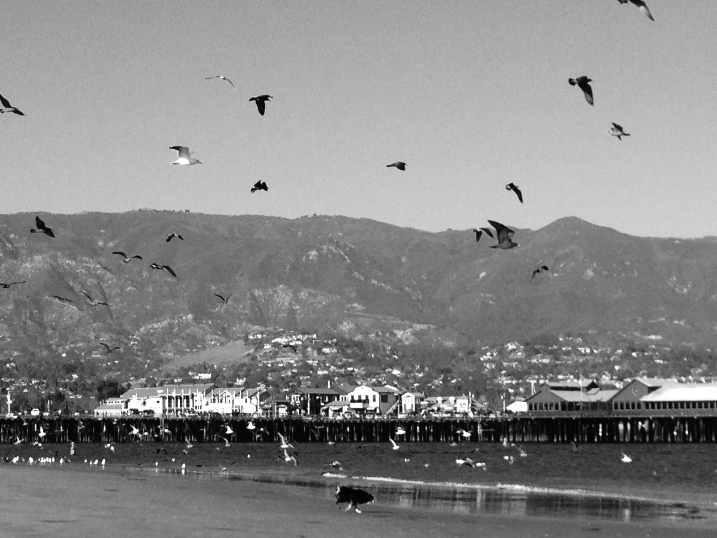 BW_Stearns Wharf with birds.jpg