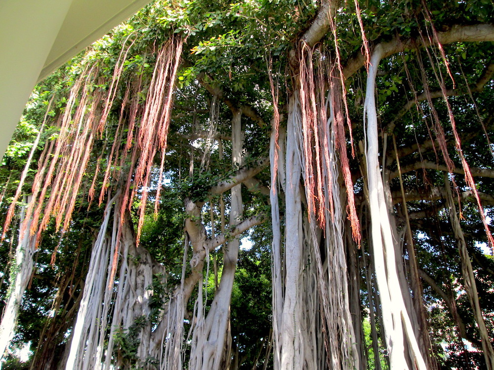 banyan trees3.jpg