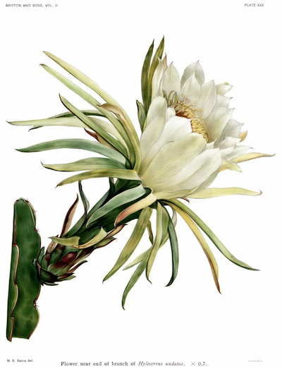 Image of night-blooming cereus from Wikimedia Commons.