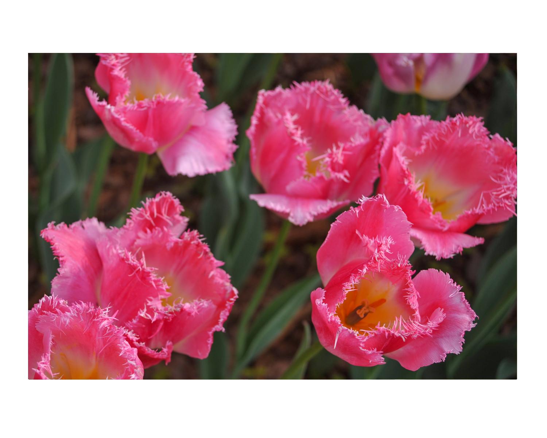 tulip2_photos_stanislawakodman.jpg