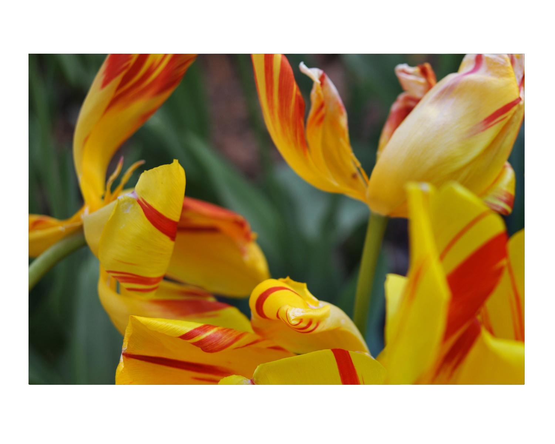 tulip_photos_stanislawakodman.jpg