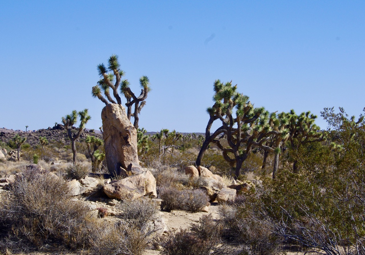 Rocks and joshua trees.jpg